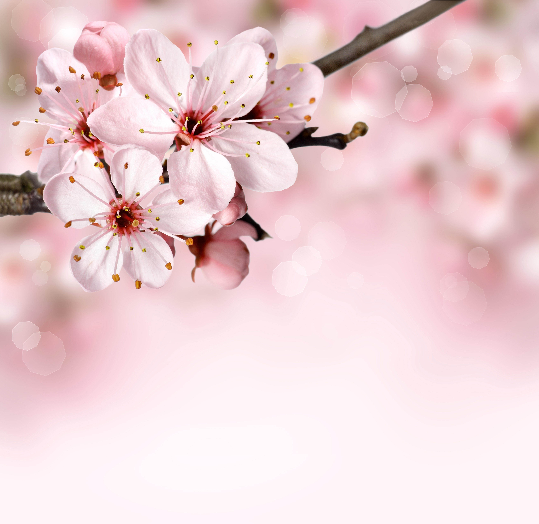 Pink Petal Flower, Background, Bloom, Blossom, Bokeh, HQ Photo