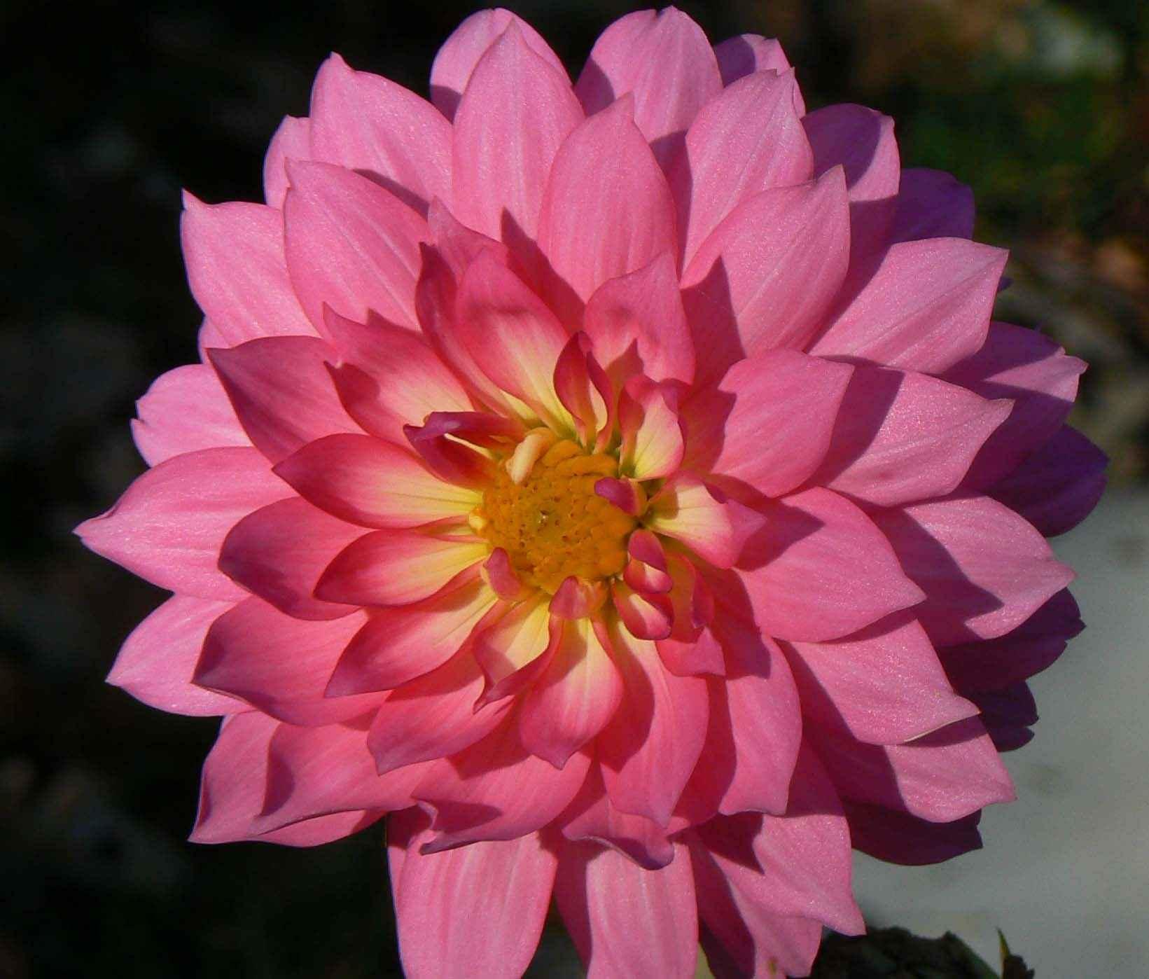 File:Dahlia flower petals pink dahlia.jpg - Wikimedia Commons