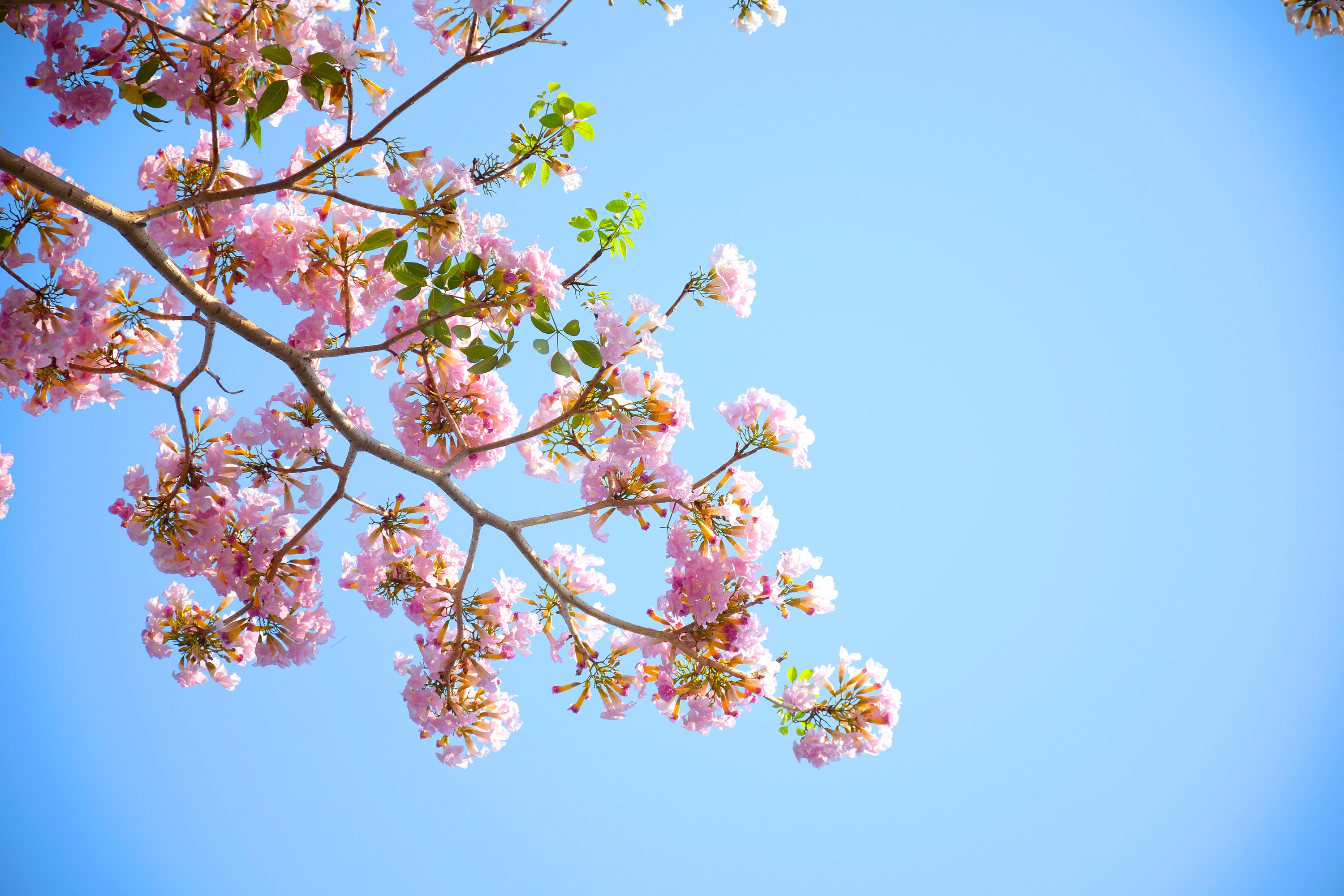Pink Petaled Flowers Blooming during Daytime, Sky, Tree, Nature, Flowers, HQ Photo