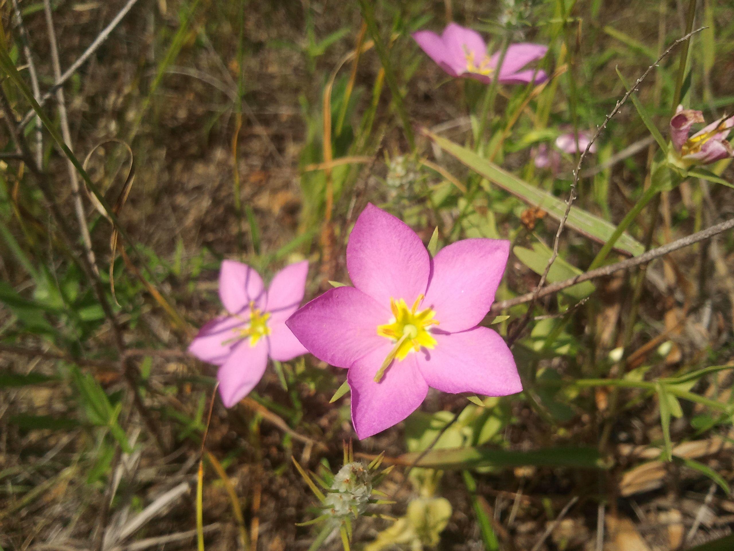 Meadow Pink - Sabatia campestris | Oklahoma Wildflowers | Pinterest