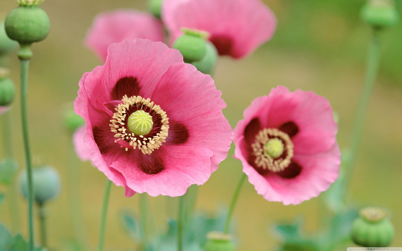Free Photo Pink Poppy Flower Petals Nature Garden Free
