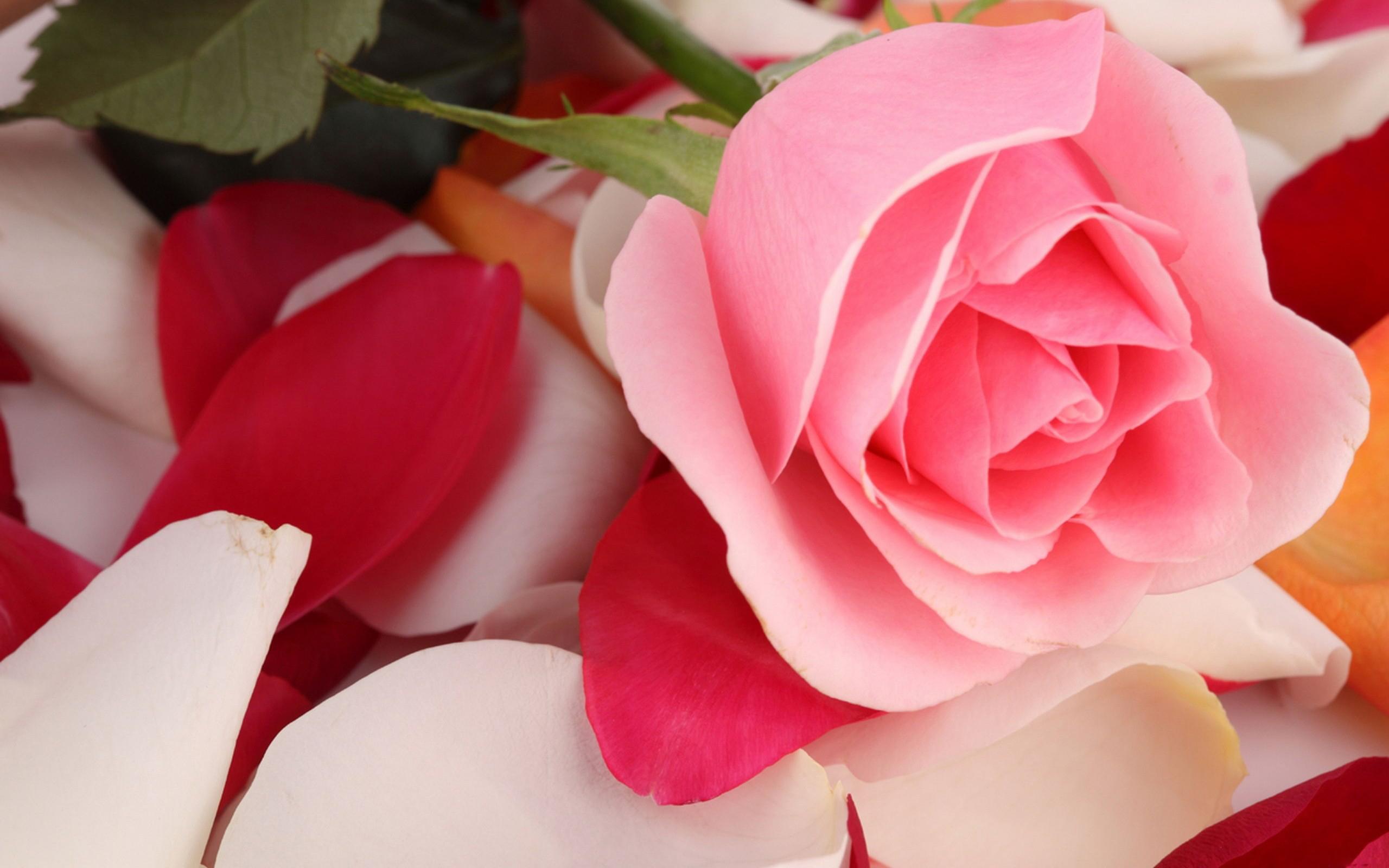 Wallpaper Pink Rose Beautiful Beautiful, Pink, Rose, Tulips