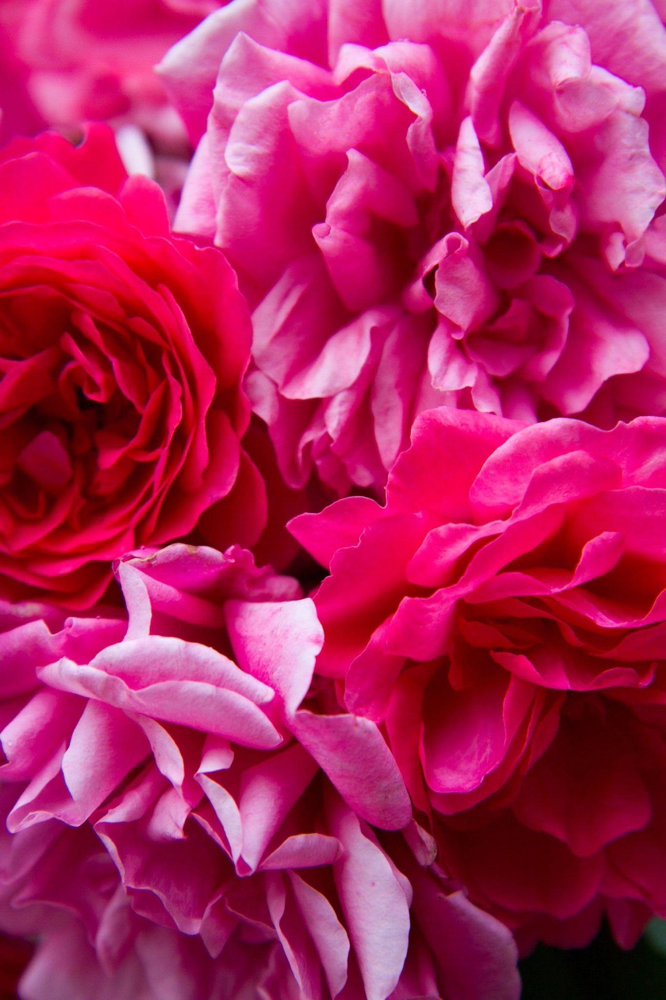 Free Photo Pink Rose Rose Pink Love Free Download Jooinn