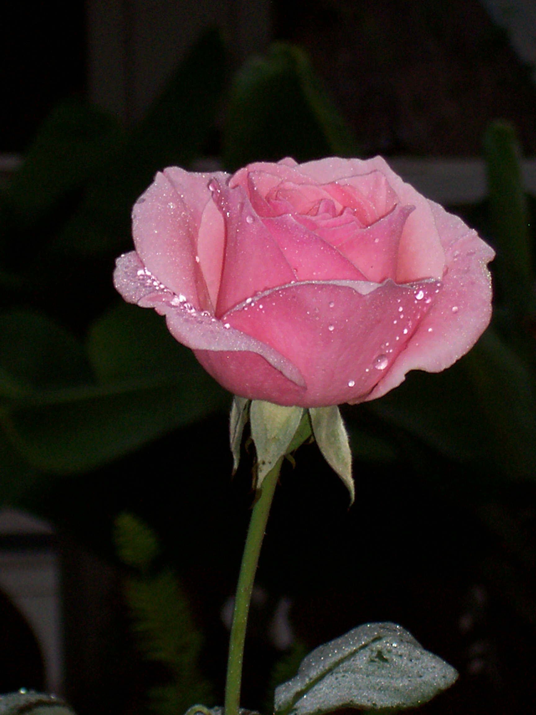 Pink rose, Pink, Plant, Romantic, Rose, HQ Photo