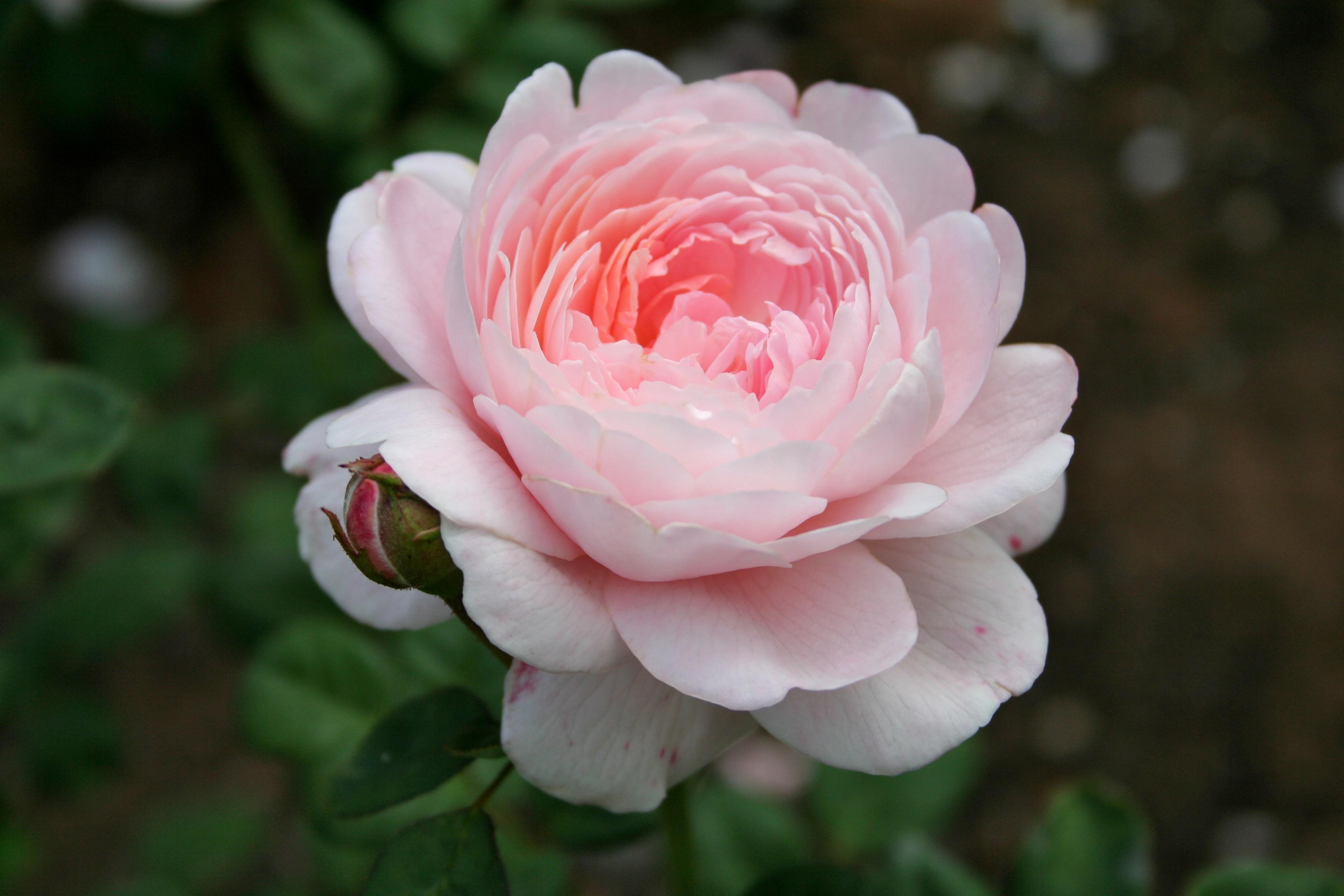 File:Pink rose 1.jpg - Wikimedia Commons