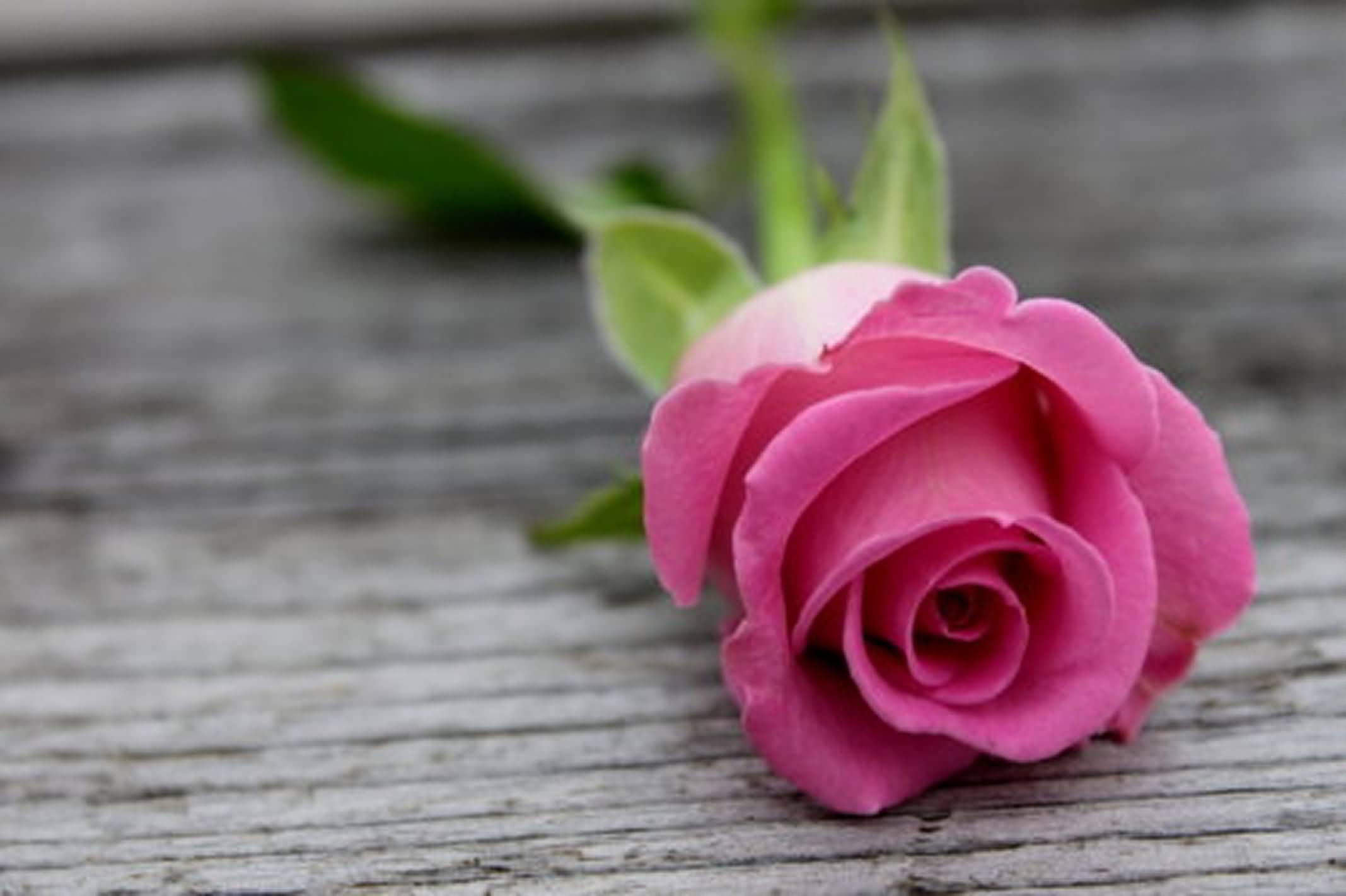 Free Photo Pink Rose Love Lavender Hue Free Download Jooinn