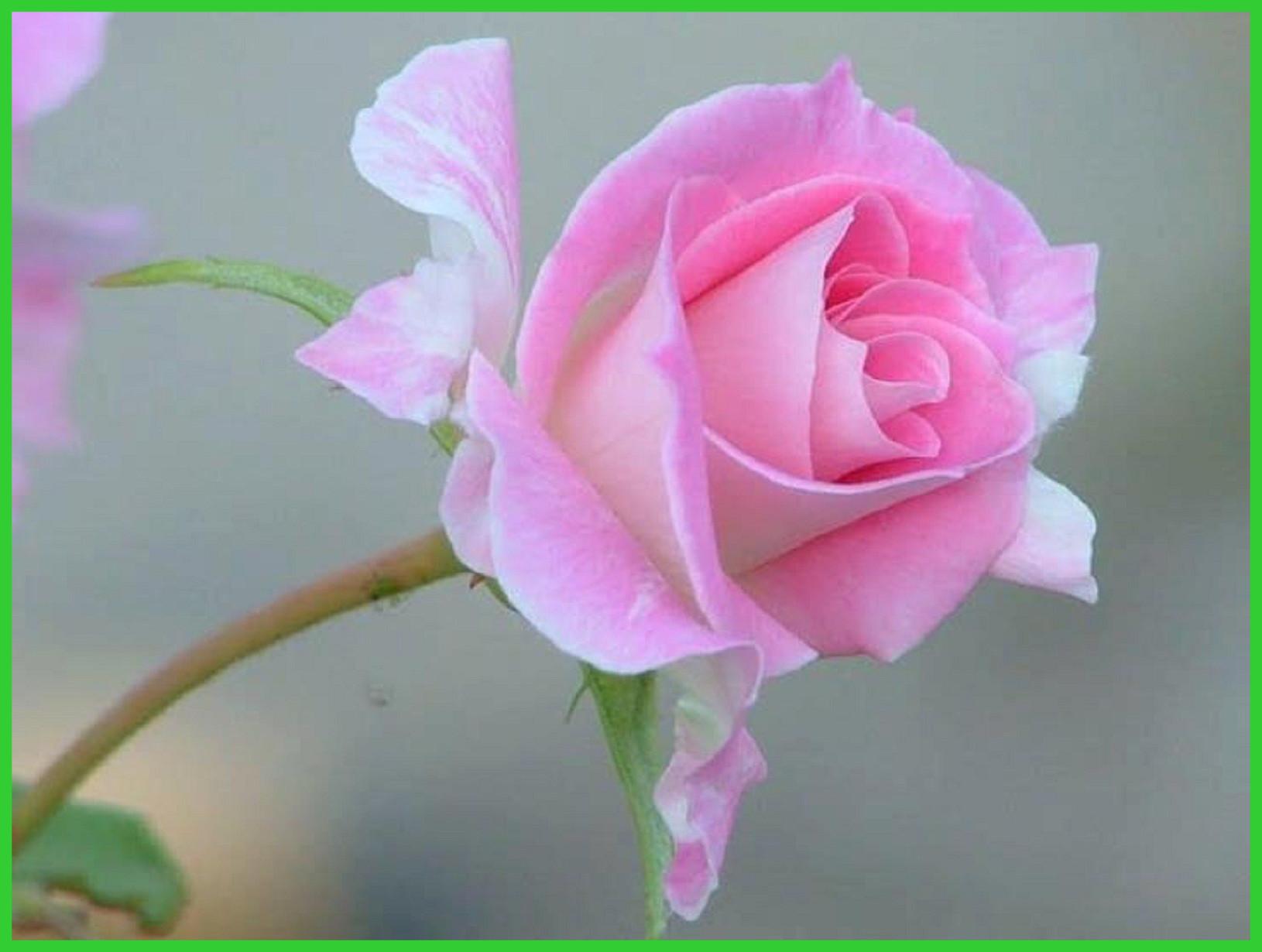 Free Photo Pink Rose Rose Pink Bloom Free Download Jooinn