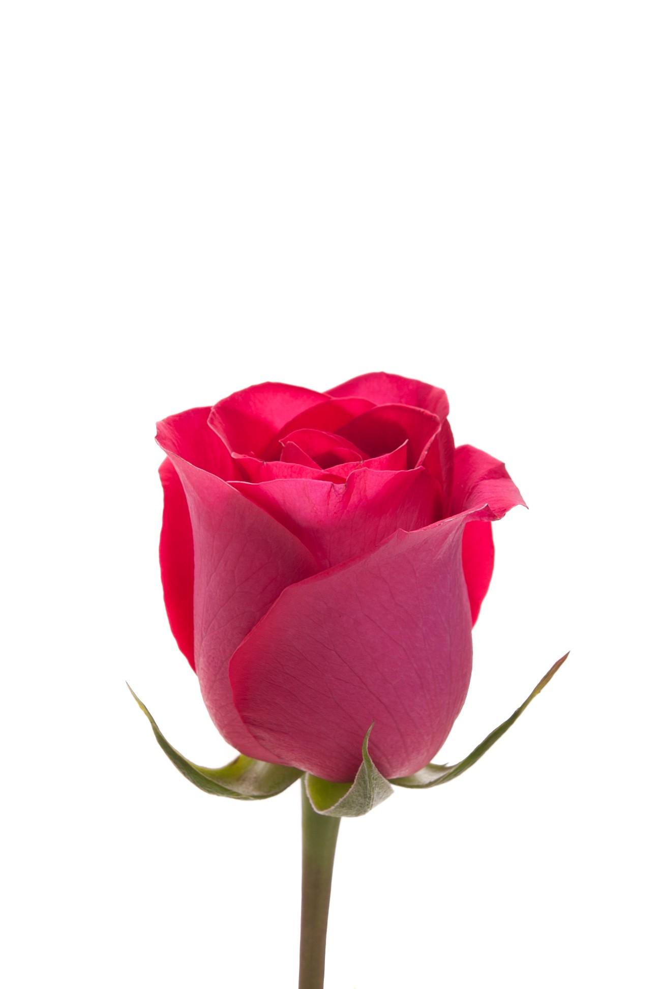 free photo pink single rose pink rose petals free download
