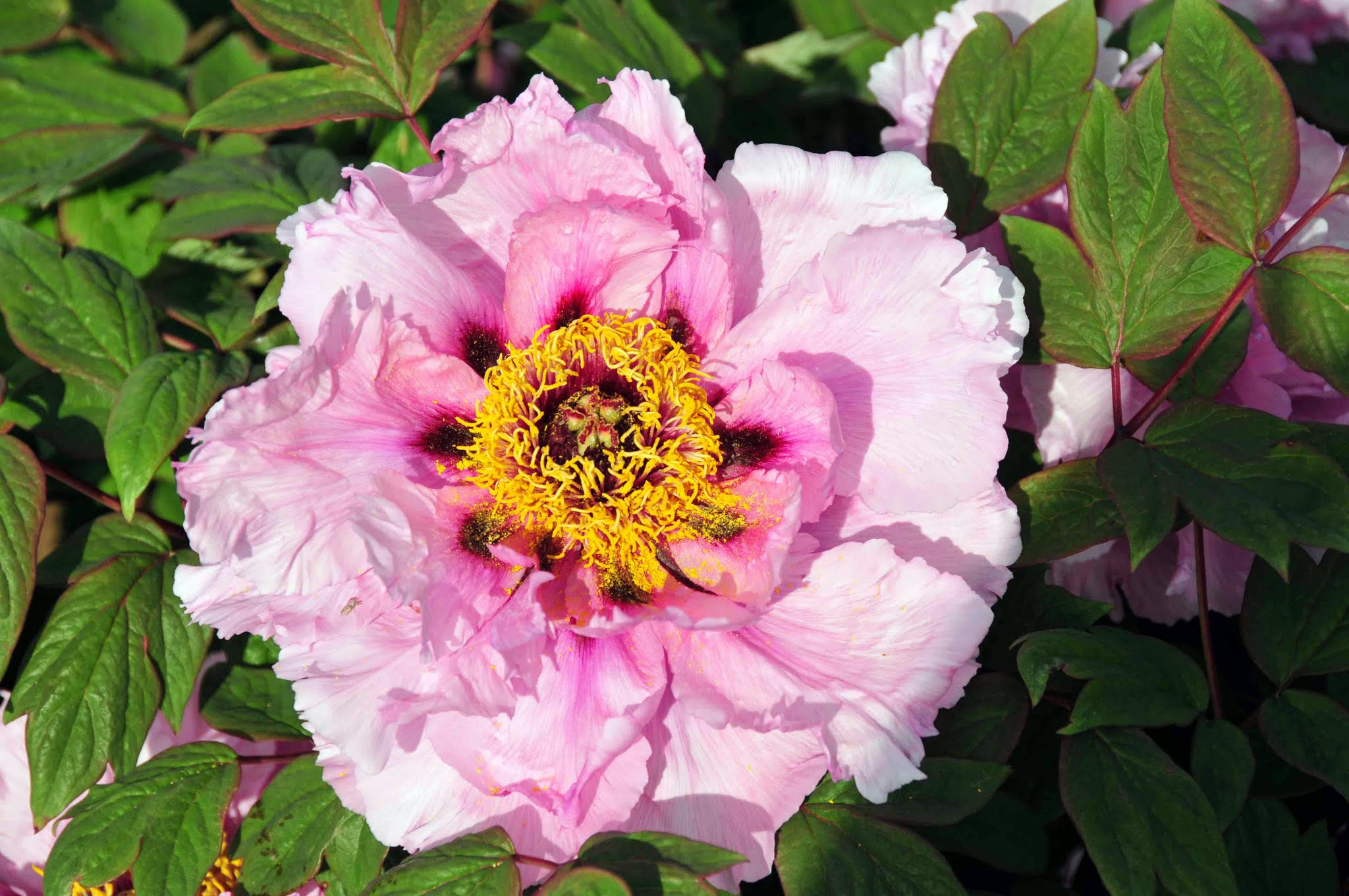 Planting Tree Peonies from Cricket Hill Garden - The Martha Stewart Blog
