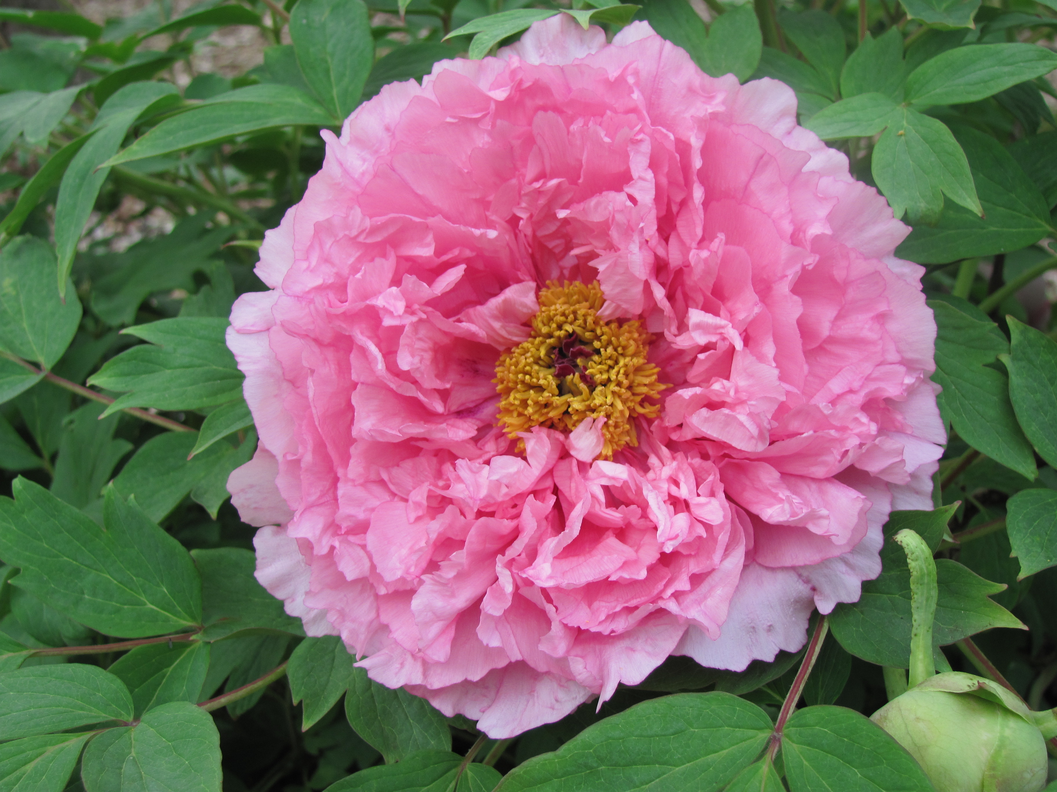 Peony Flower Forms – Cricket Hill Garden