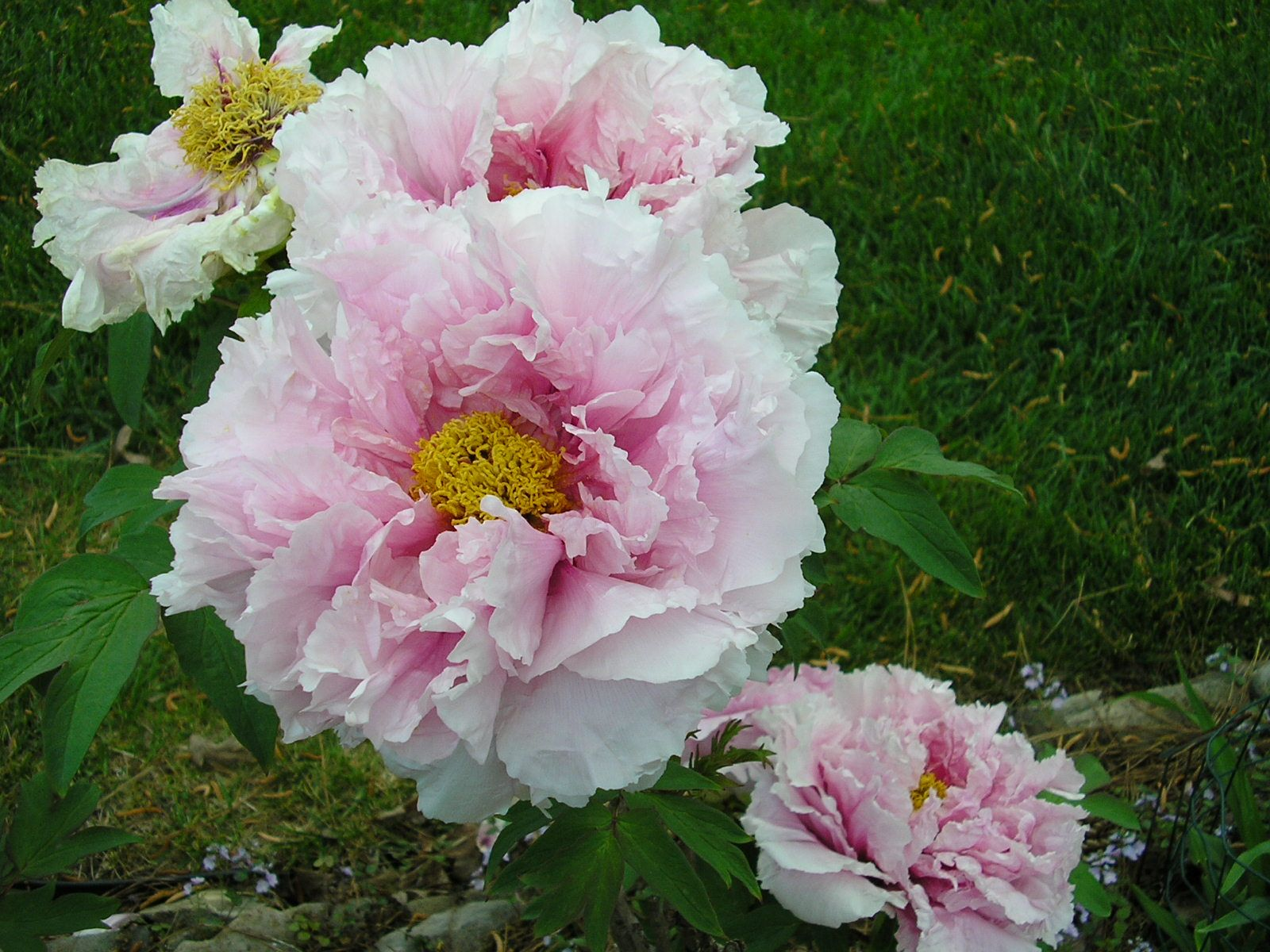 A pink tree peony. Is there any flower more exquisite? | GARDEN ...