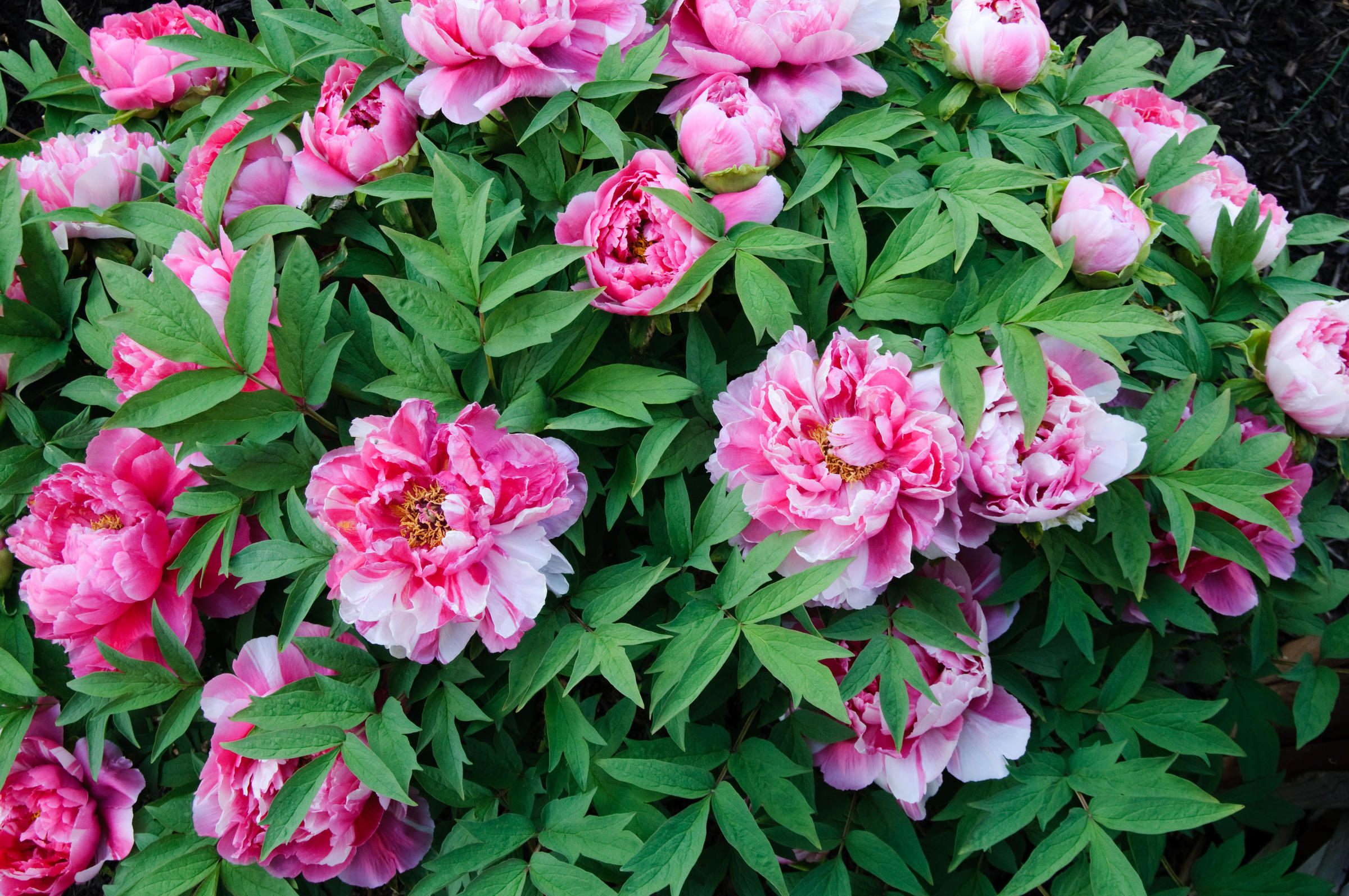 Vermont Garden Journal: Tree Peonies | Vermont Public Radio