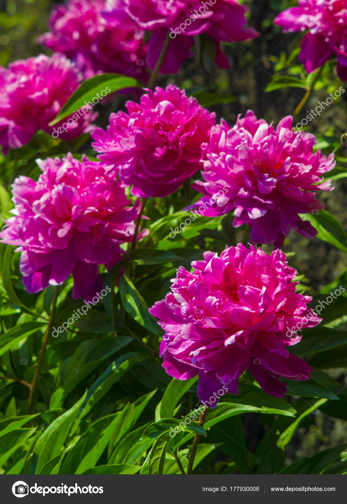 Peonies. Flowers peonies. Flowering bush of pink tree peony — Stock ...