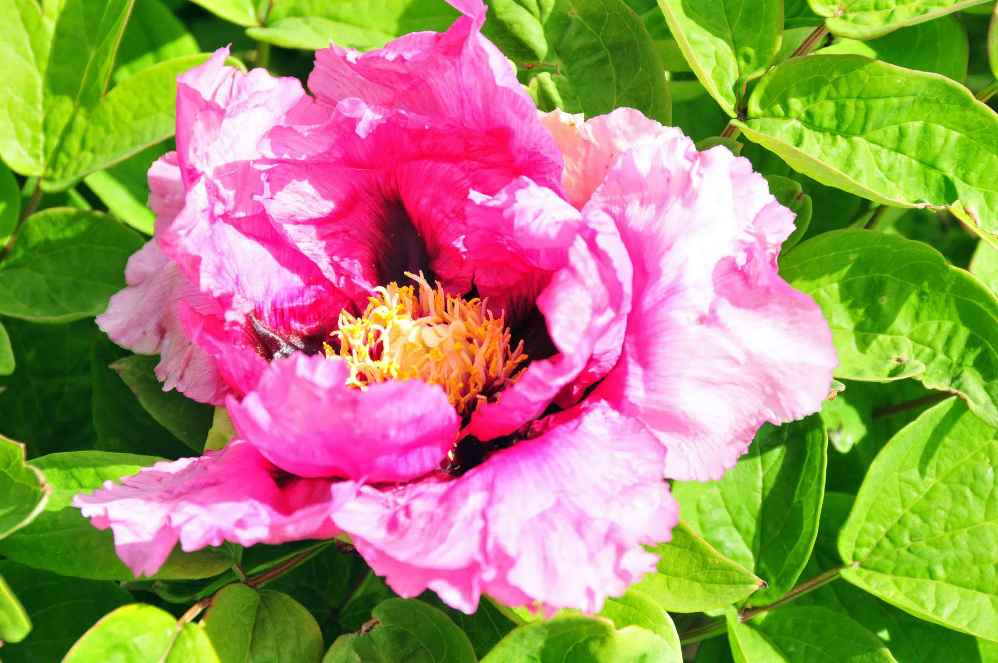 Pink tree peony photo