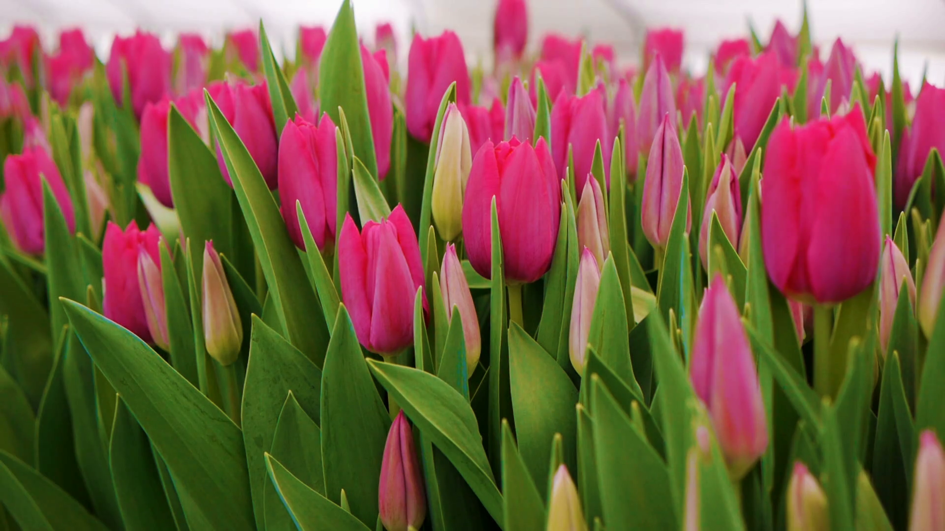 Free Photo Pink Tulip Plant Romantic Spring Free Download