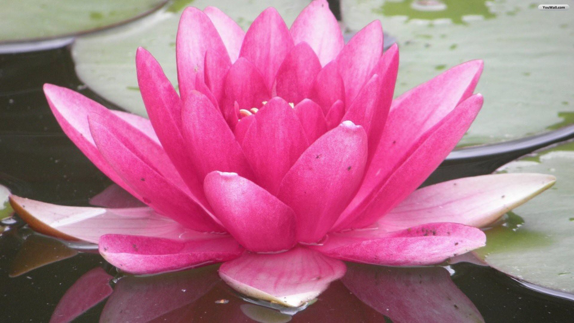 Free Photo Pink Water Lilies Pond Water Pink Free Download