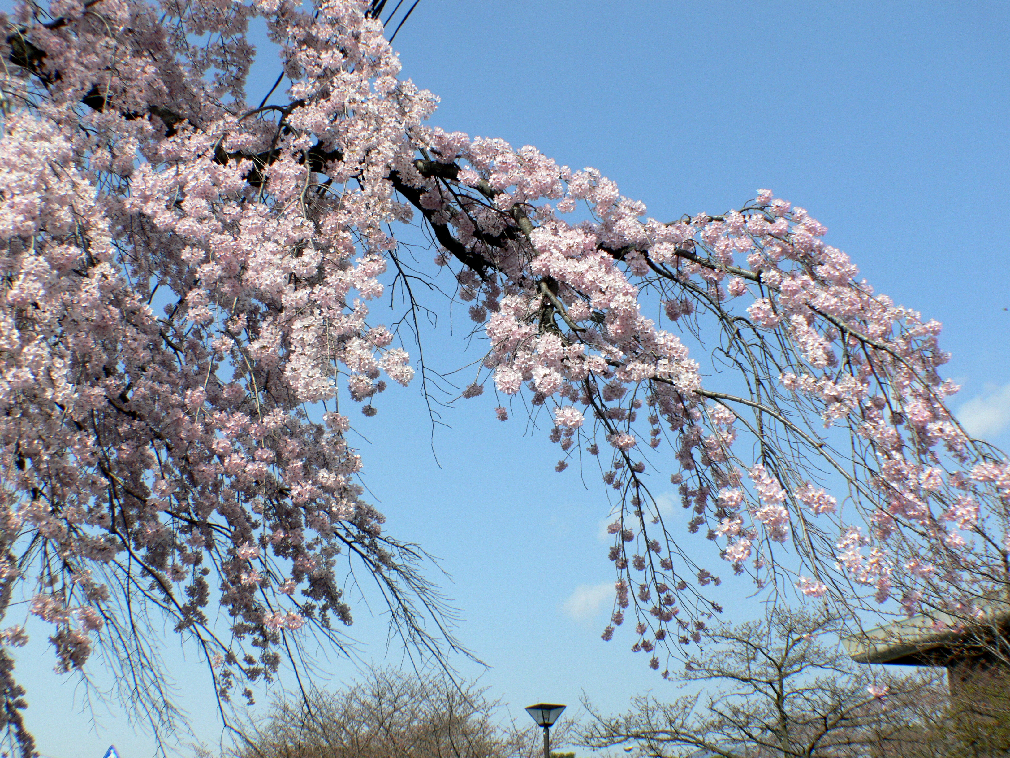 Pink white cherry blossom branch photo