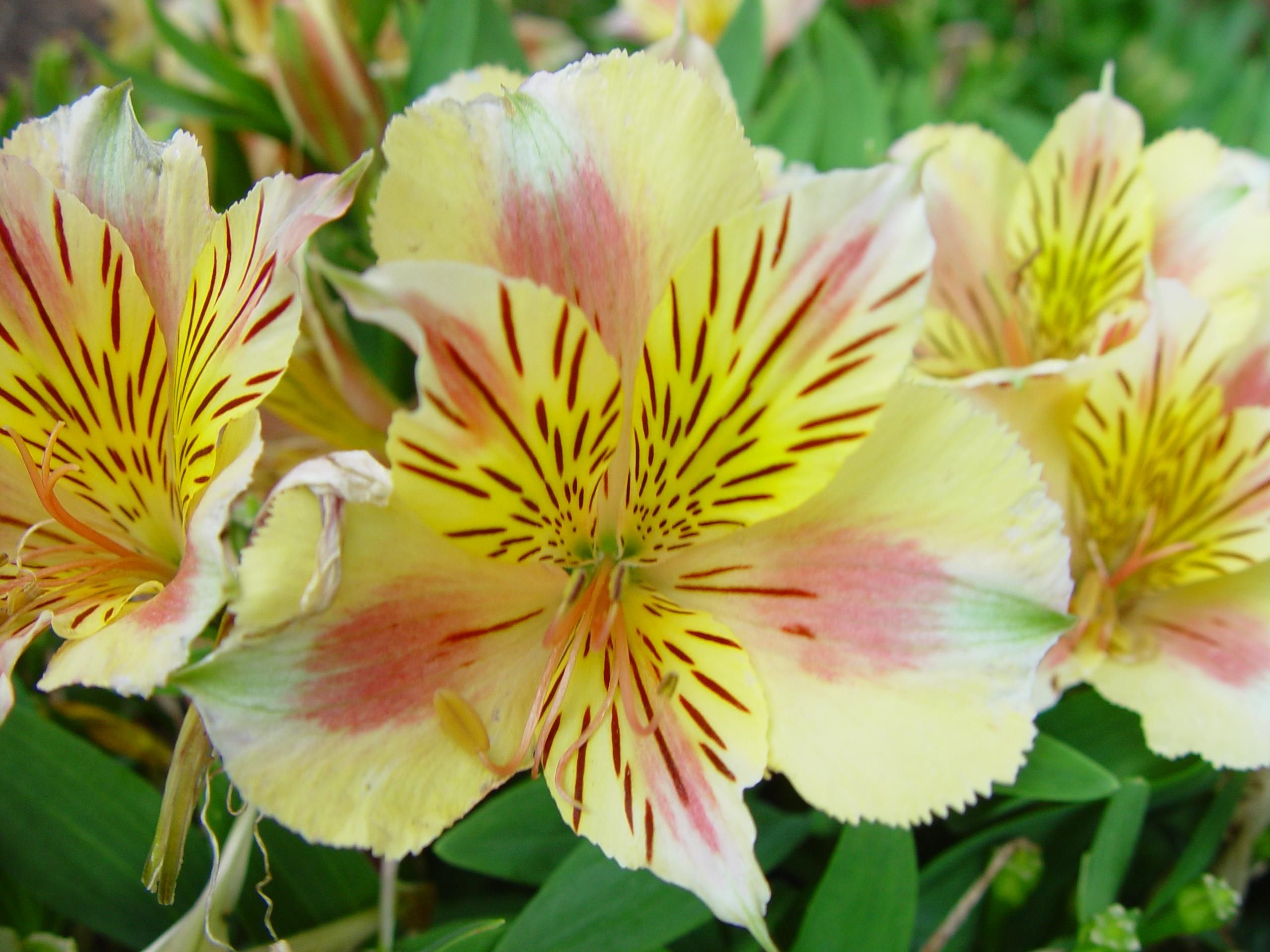 Free picture: yellow, pink, day, lily