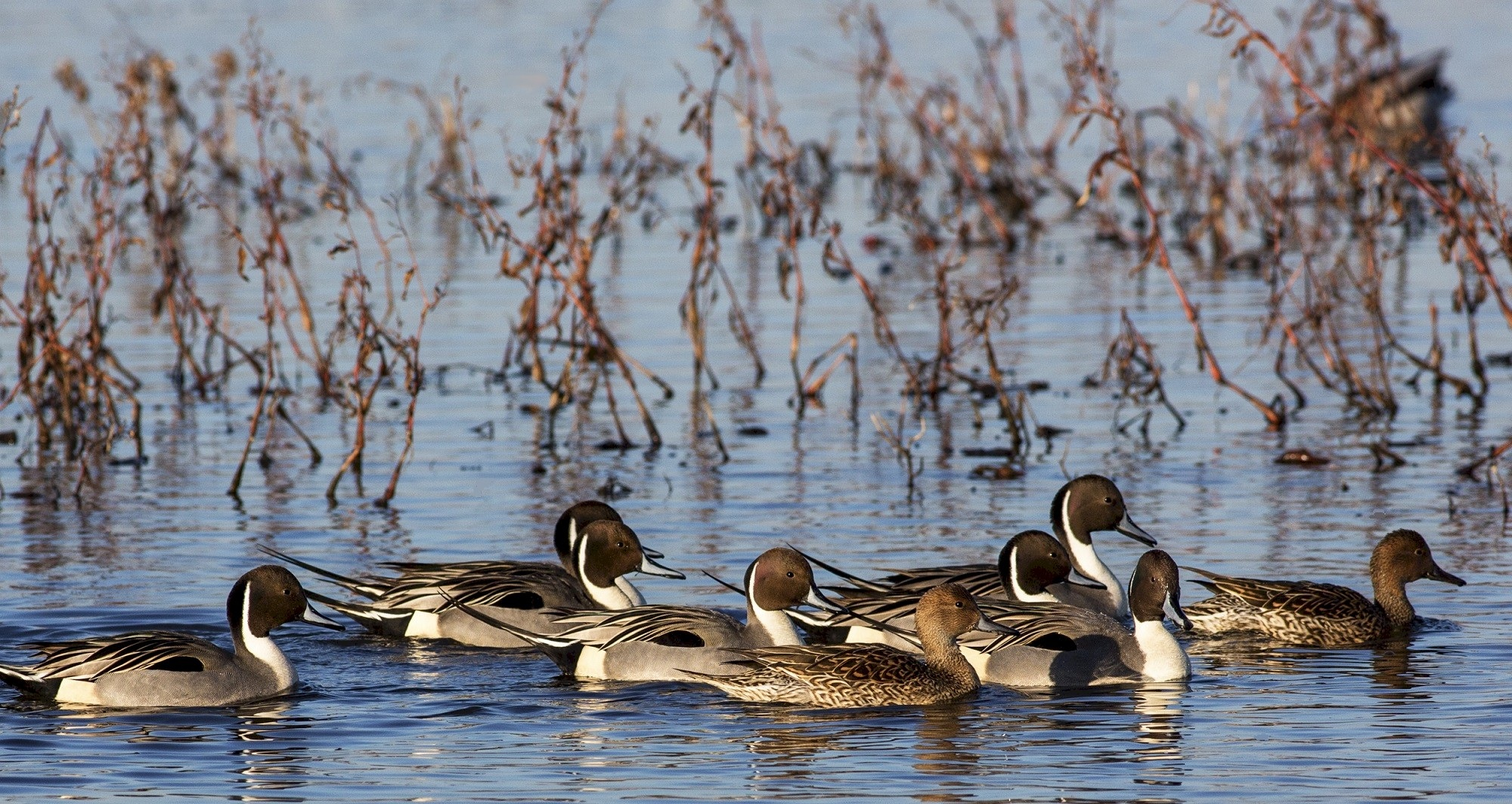 Pintail ducks in the river photo