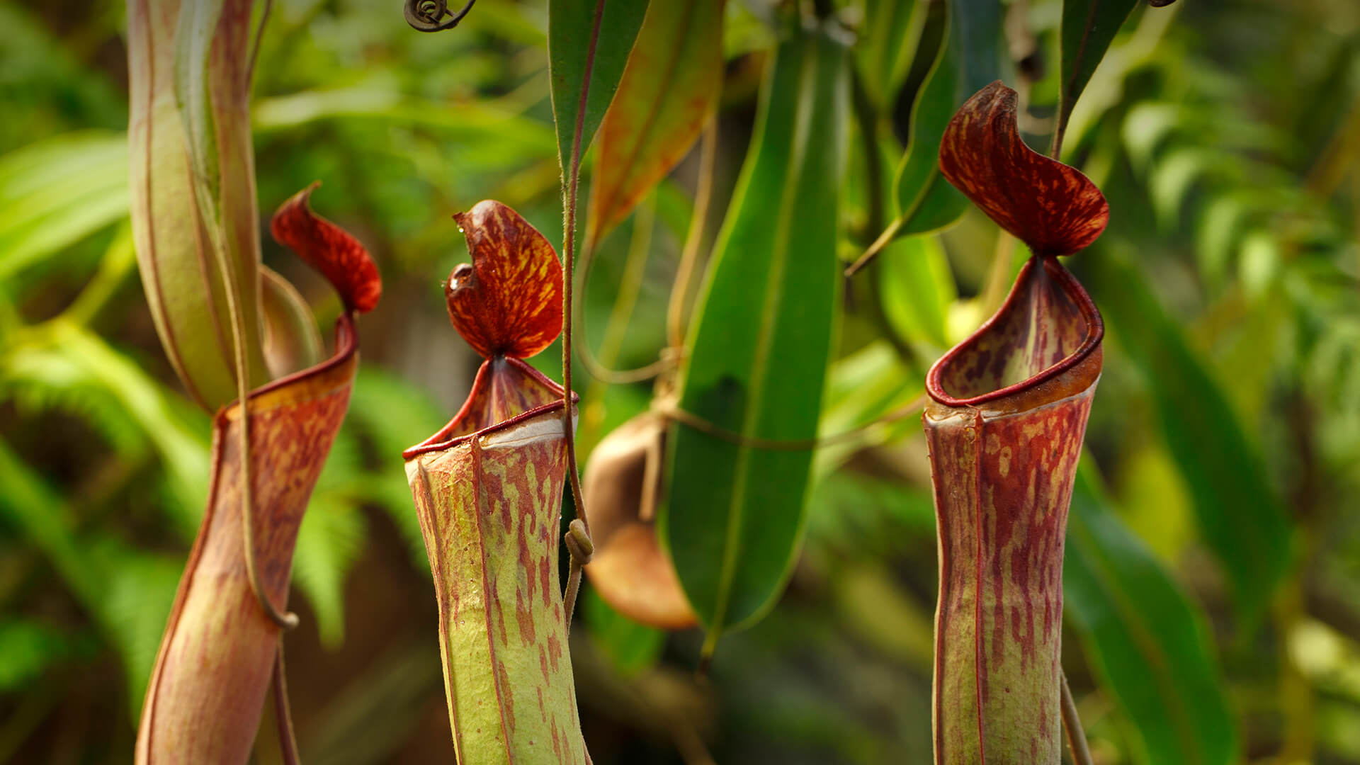 Pitcher plant photo