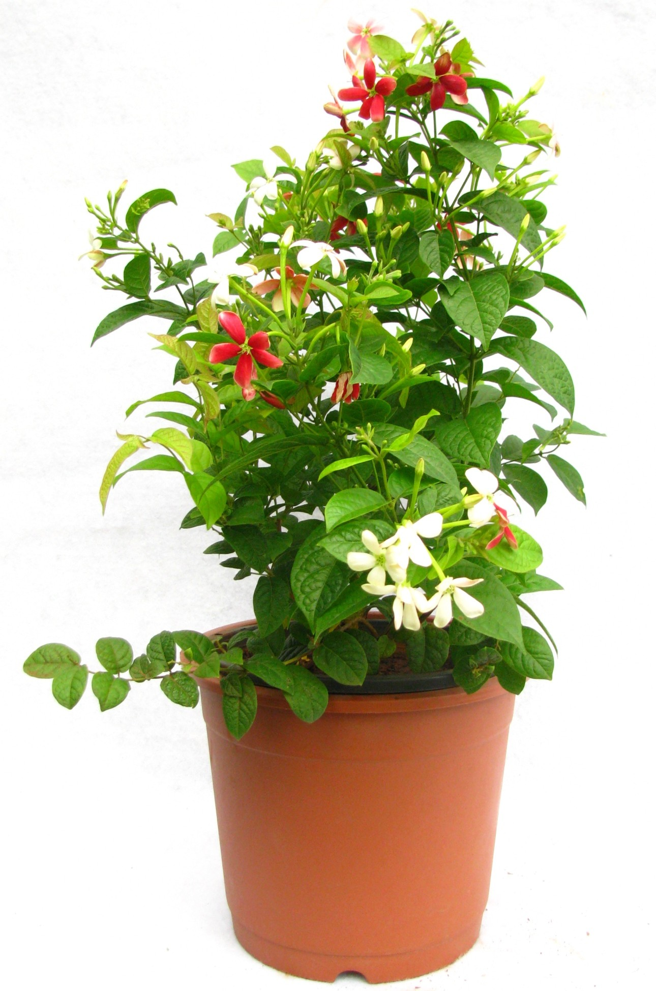 Buy Madhumalti Flower Plant Online at best Prices in India ...