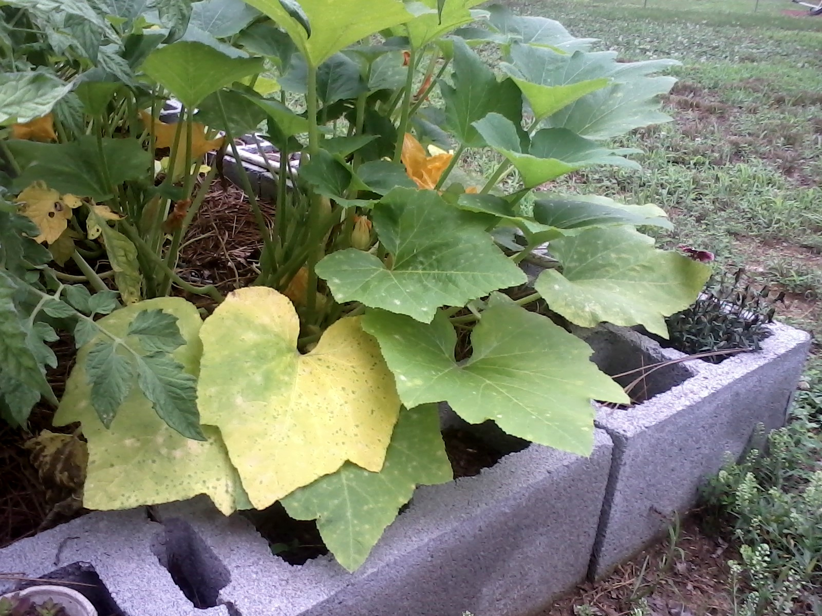 Reasons And Fixes For Yellow Squash Leaves