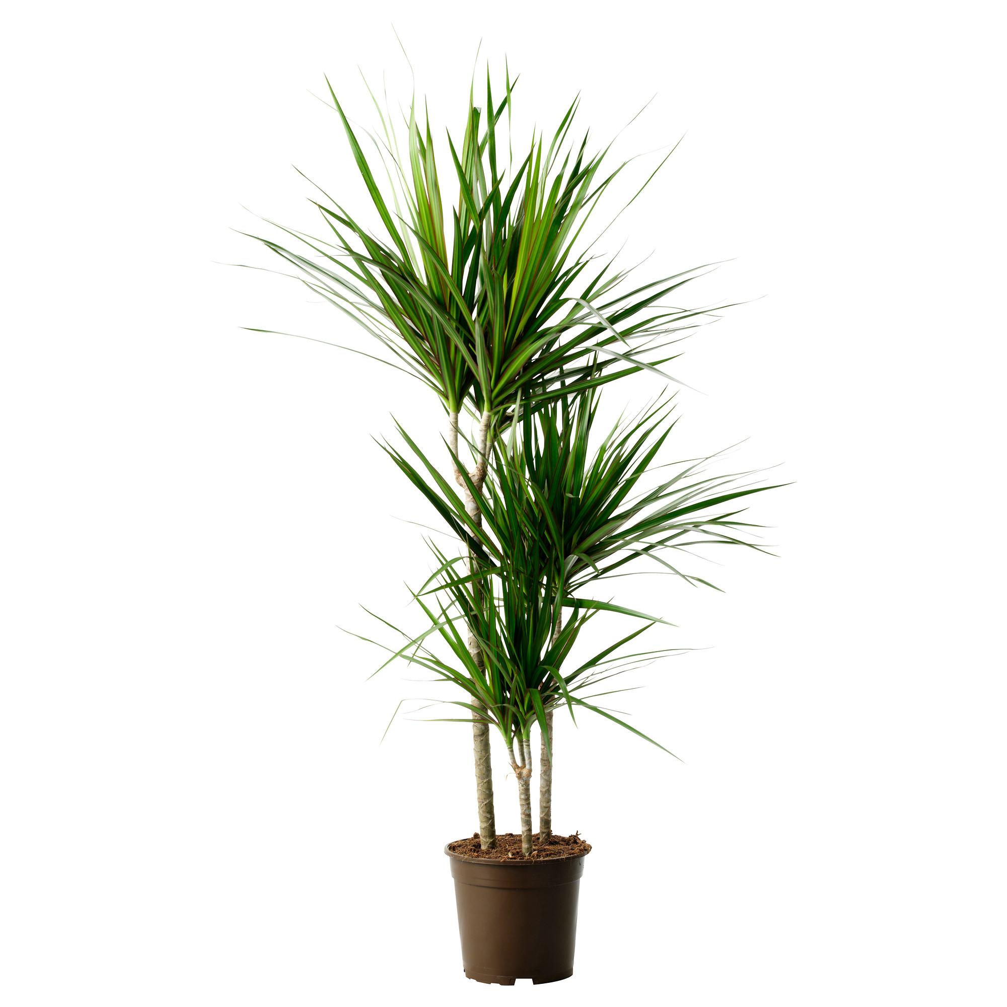 Dracaena marginata - Vancouver Plant Rentals