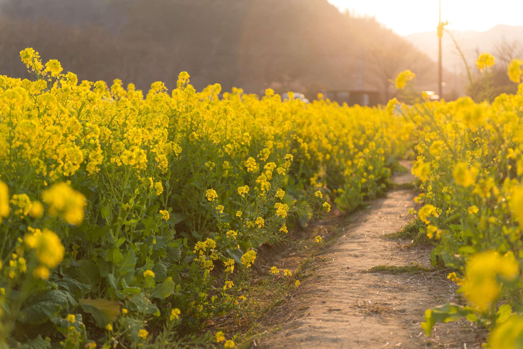 mustard plant - Ideal.vistalist.co