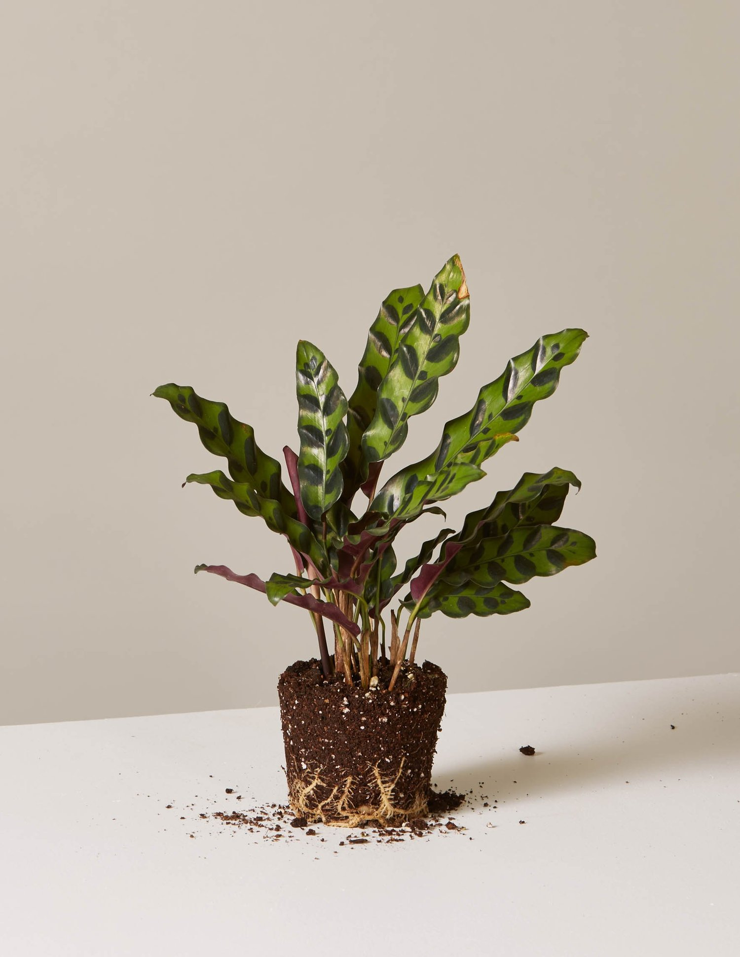 Shop Houseplants | Indoor Plants, Delivered – The Sill