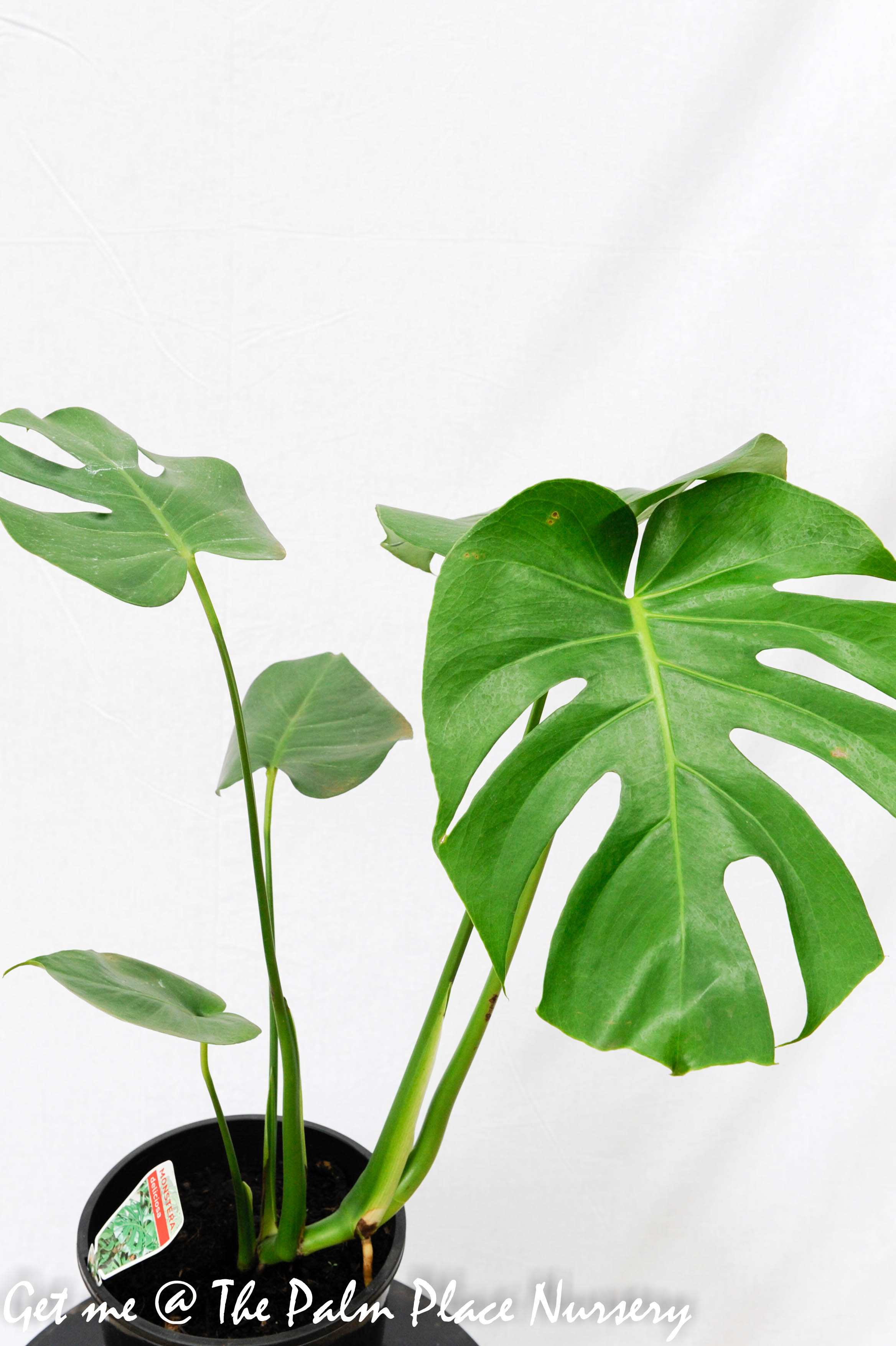 Monstera deliciosa 20cm Fruit Salad Plant