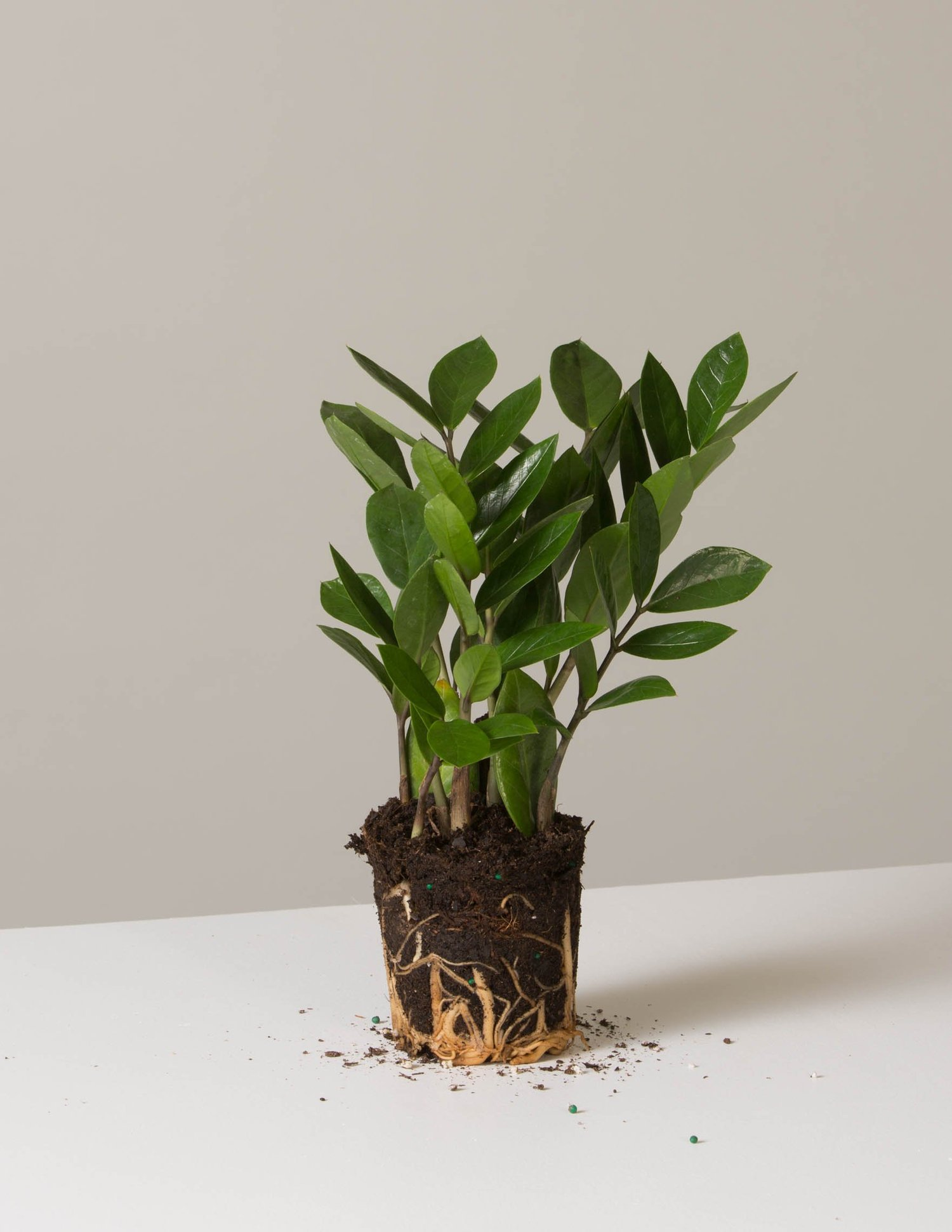 The ZZ Plant Collection | Shop More Indoor Plants – The Sill