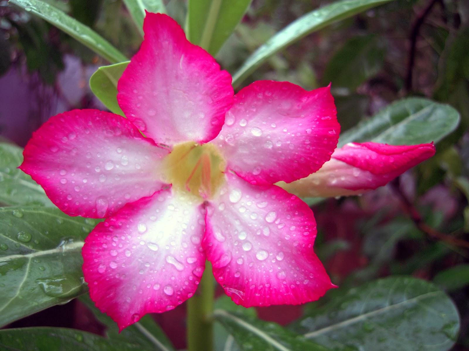 Adenium – Plant – Plantslive – Buy Plants Online India