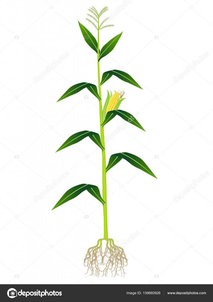 Plant on white photo