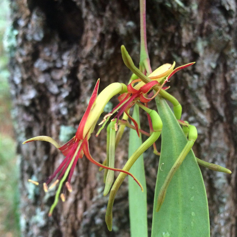 Melbourne's Peculiar Parasitic Plants — Wild Melbourne