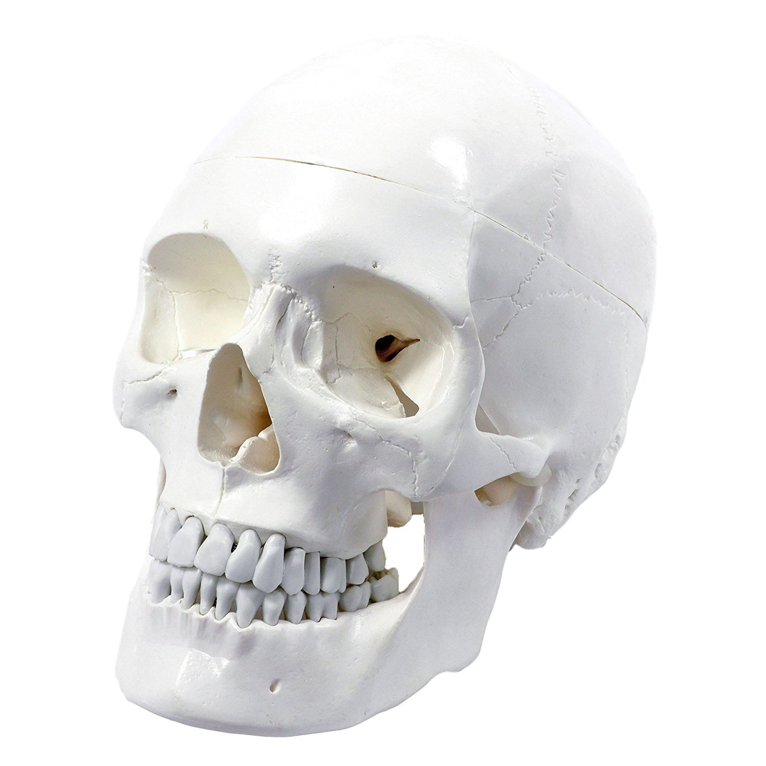 Wellden Medical Anatomical Human Skull Model, Classic, 3-part, Life ...
