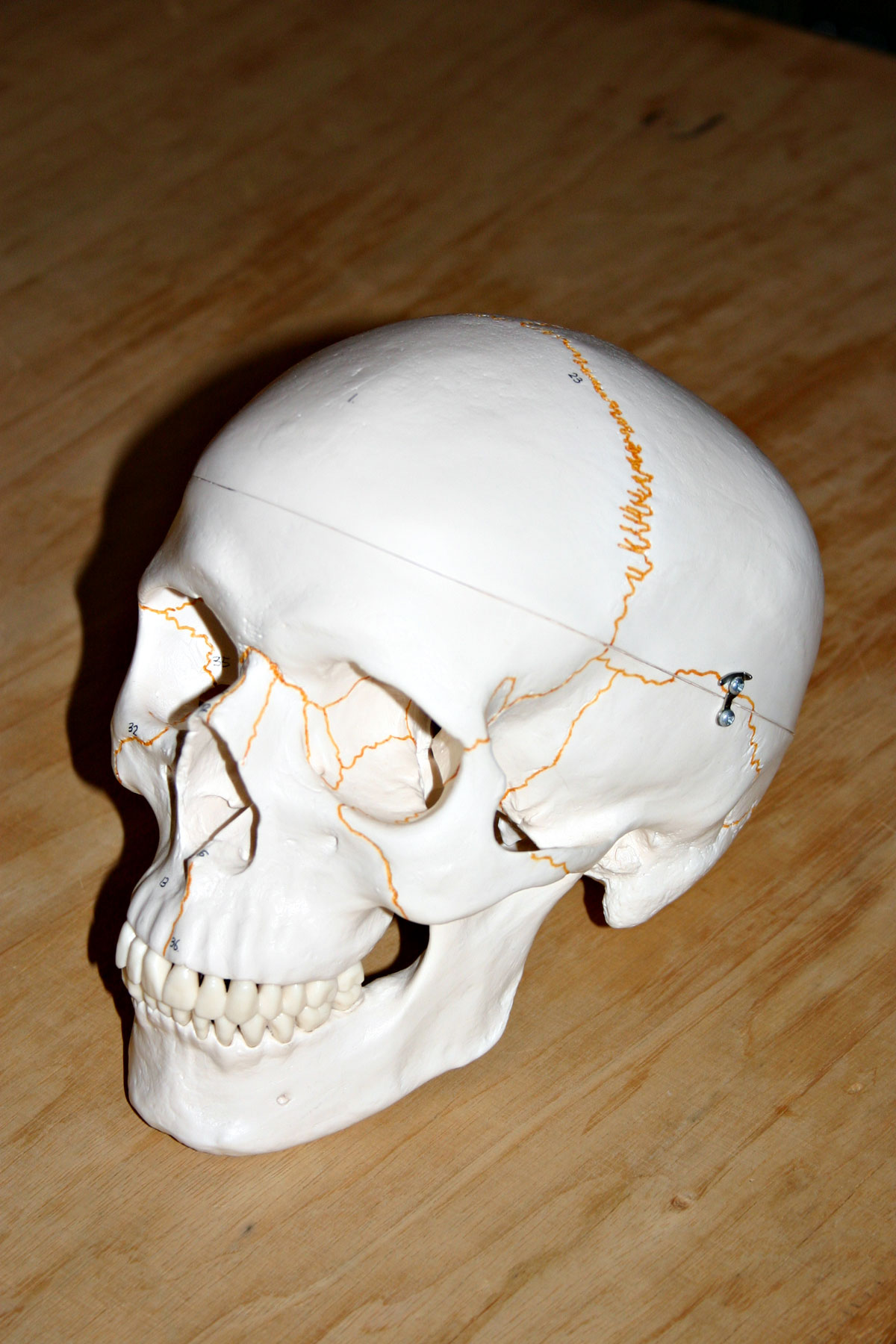 Plastic skull, Plastic, Skull, Head, Cranium, HQ Photo