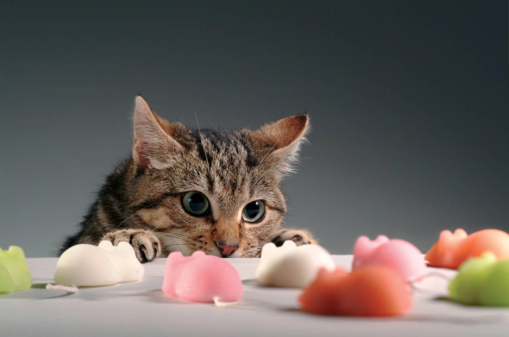 Most Playful Cat Breeds – Purrfect Cat Breeds