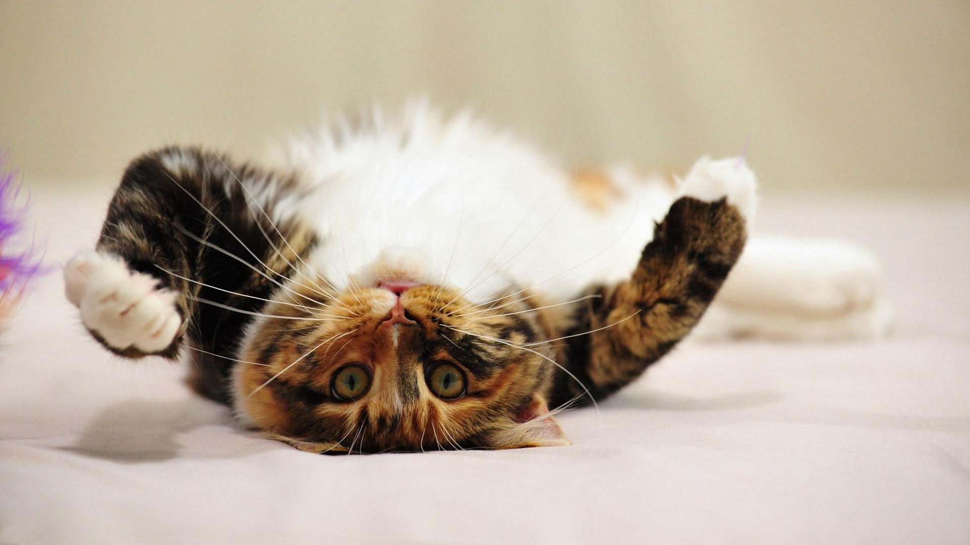 Download Wallpaper 1920x1080 cat, tabby, playful, lie Full HD 1080p ...