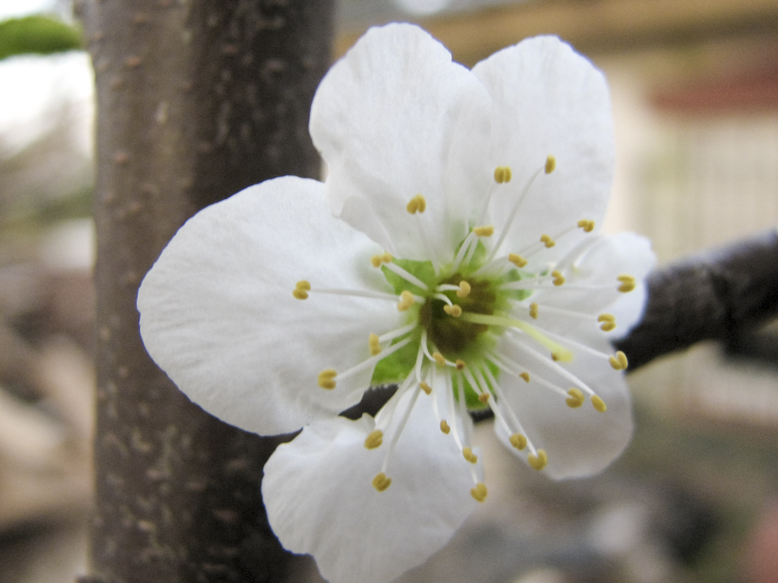 Free Photo Plum Flower Blossom Spring Sakura Tree Free