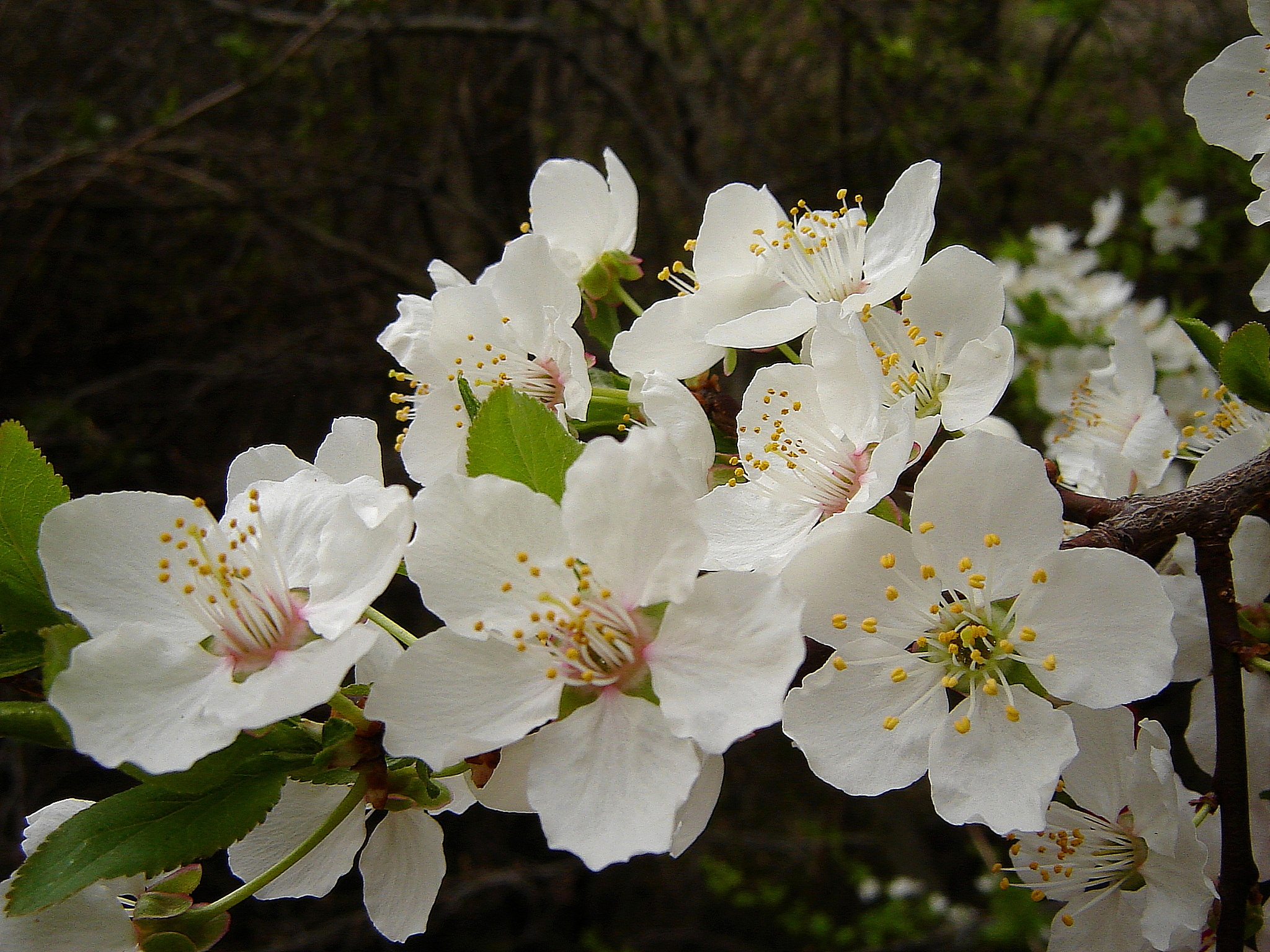 Plum tree in bloom photo