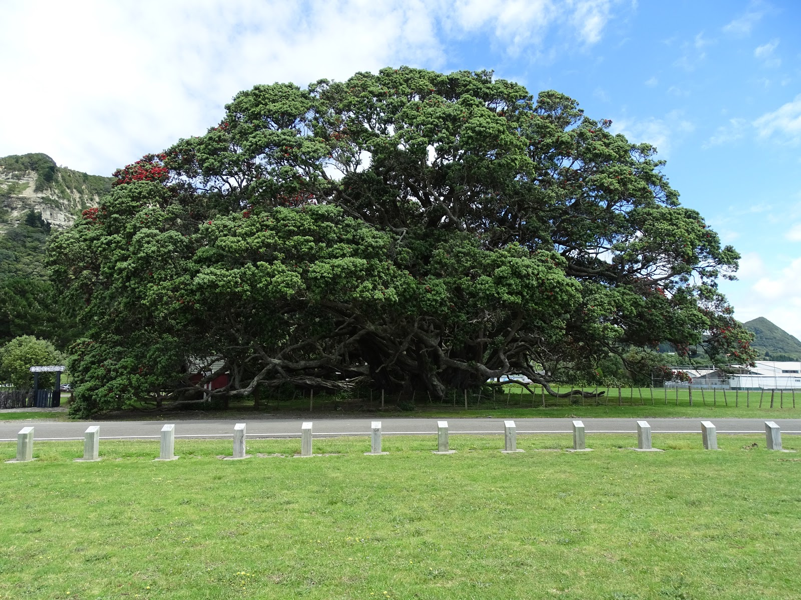Pohutukawa tree photo