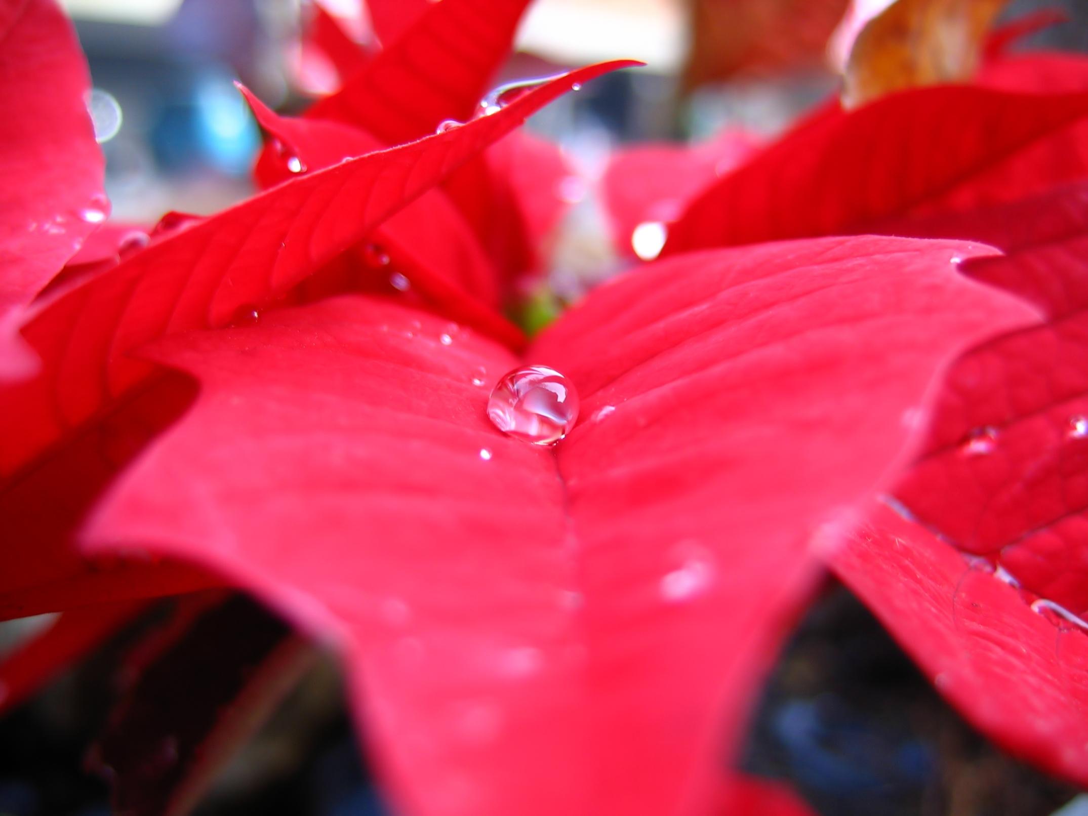 Poinsettia and water drop photo