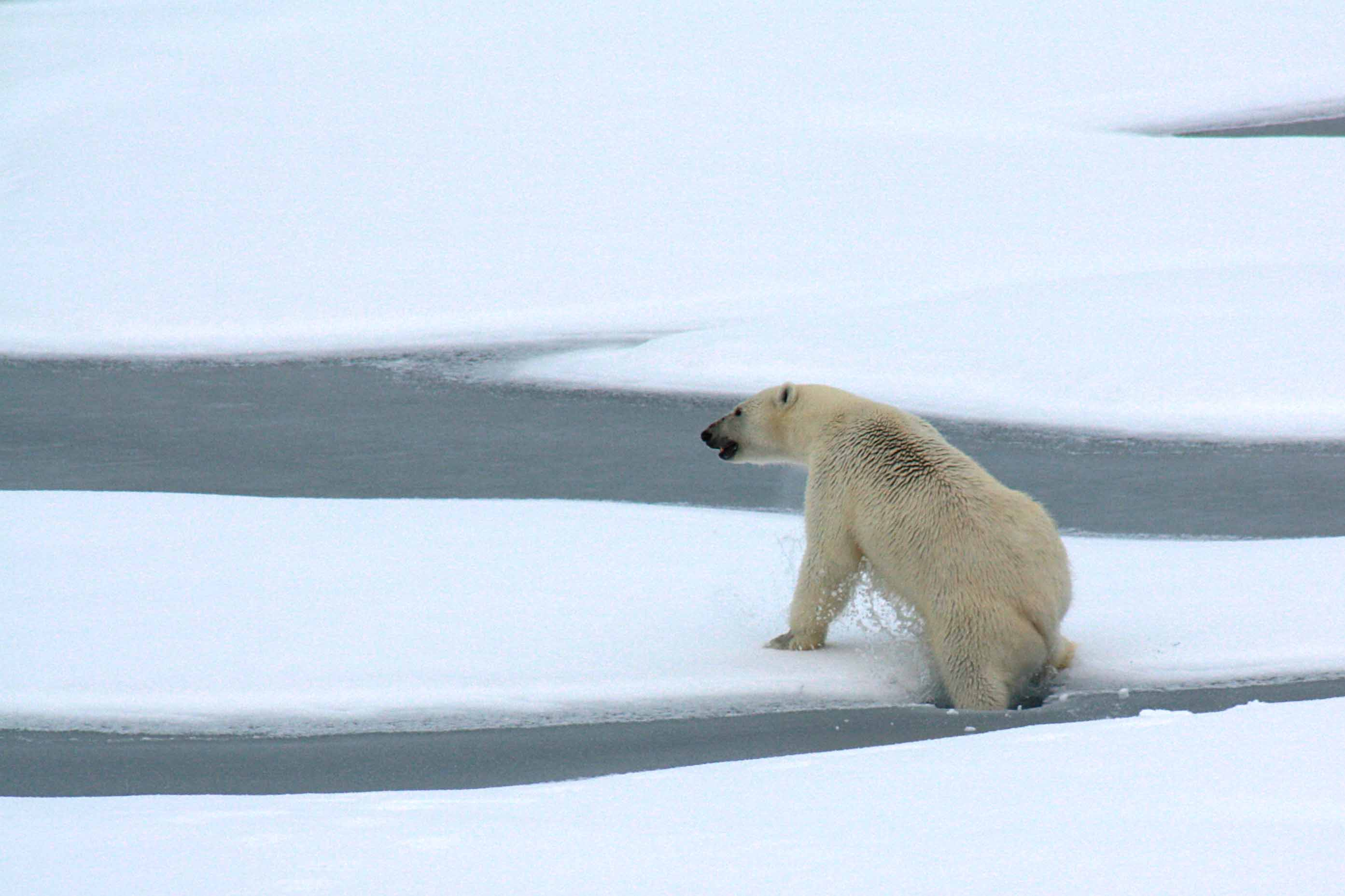 Polar bears out on the sea ice eat few seals in summer and early ...