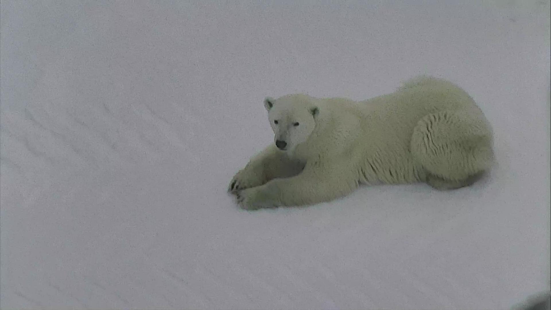 Polar Bear Cubs Camera - Live Zoo Cam | Explore.org