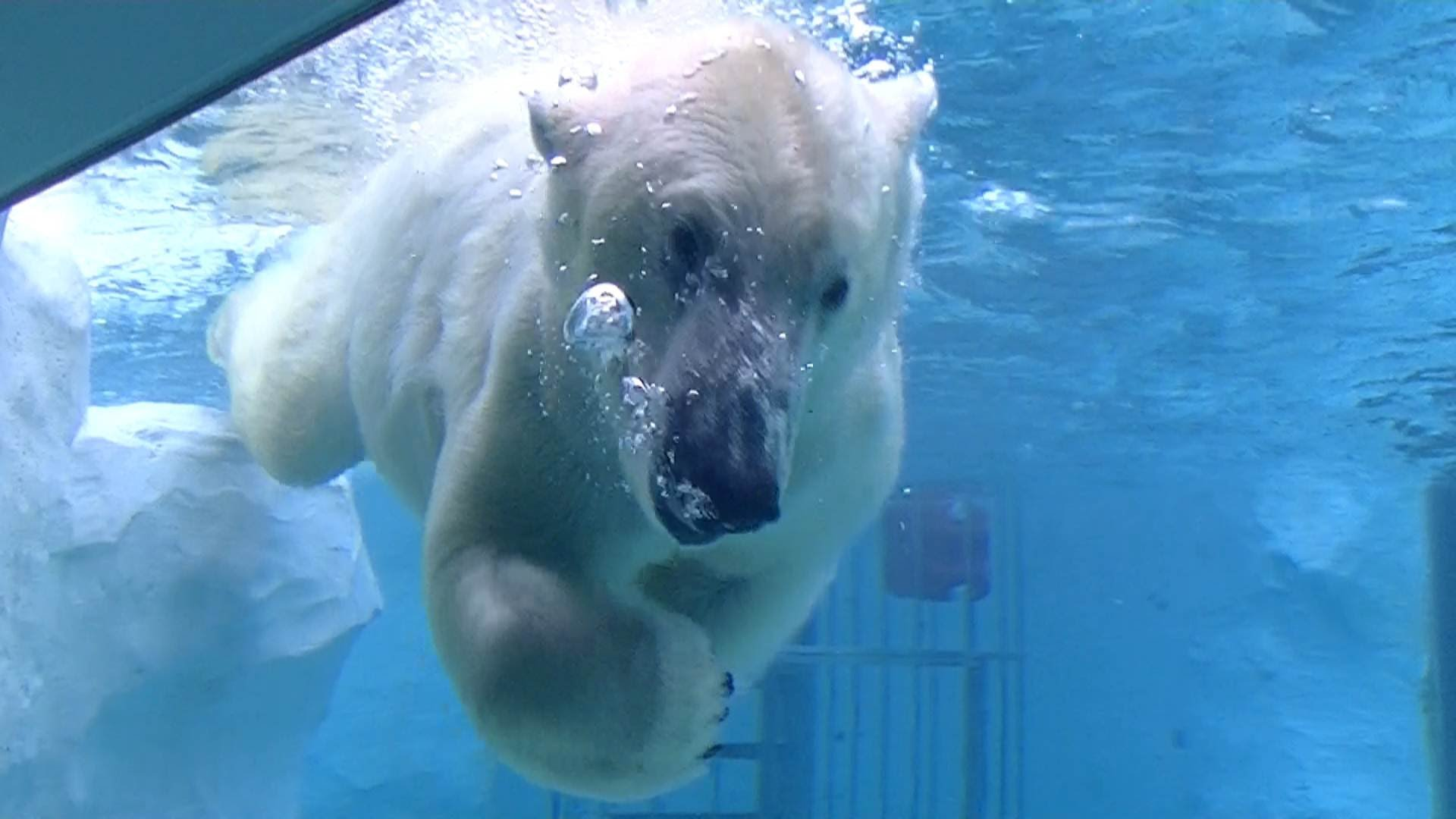 Polar bear underwater photo