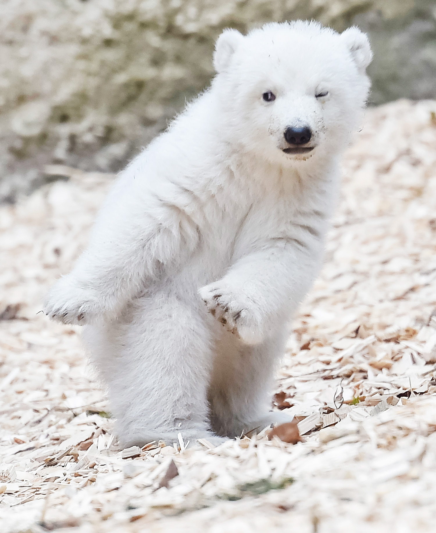 Polar Bear Cub Debut at Munich Zoo for International Polar Bear Day ...