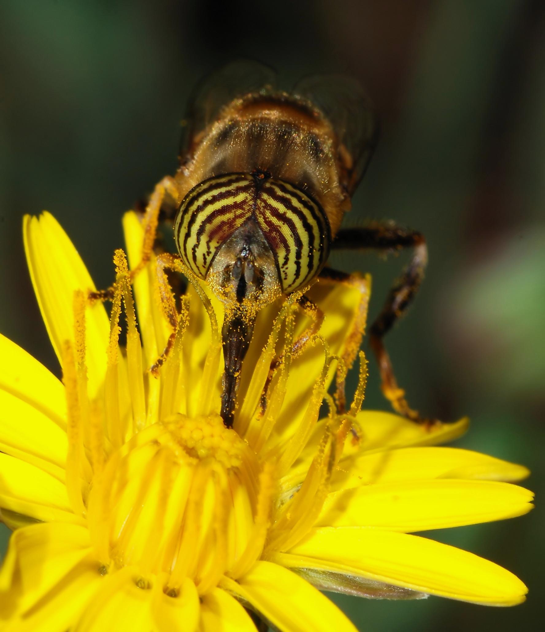 Pollinator - Wikipedia