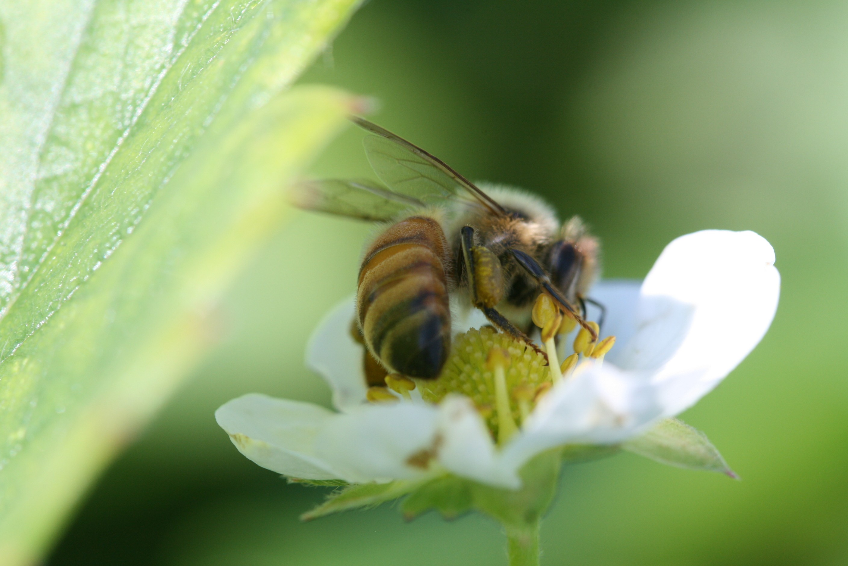 Strawberry Pollinating Insects | NC State Extension