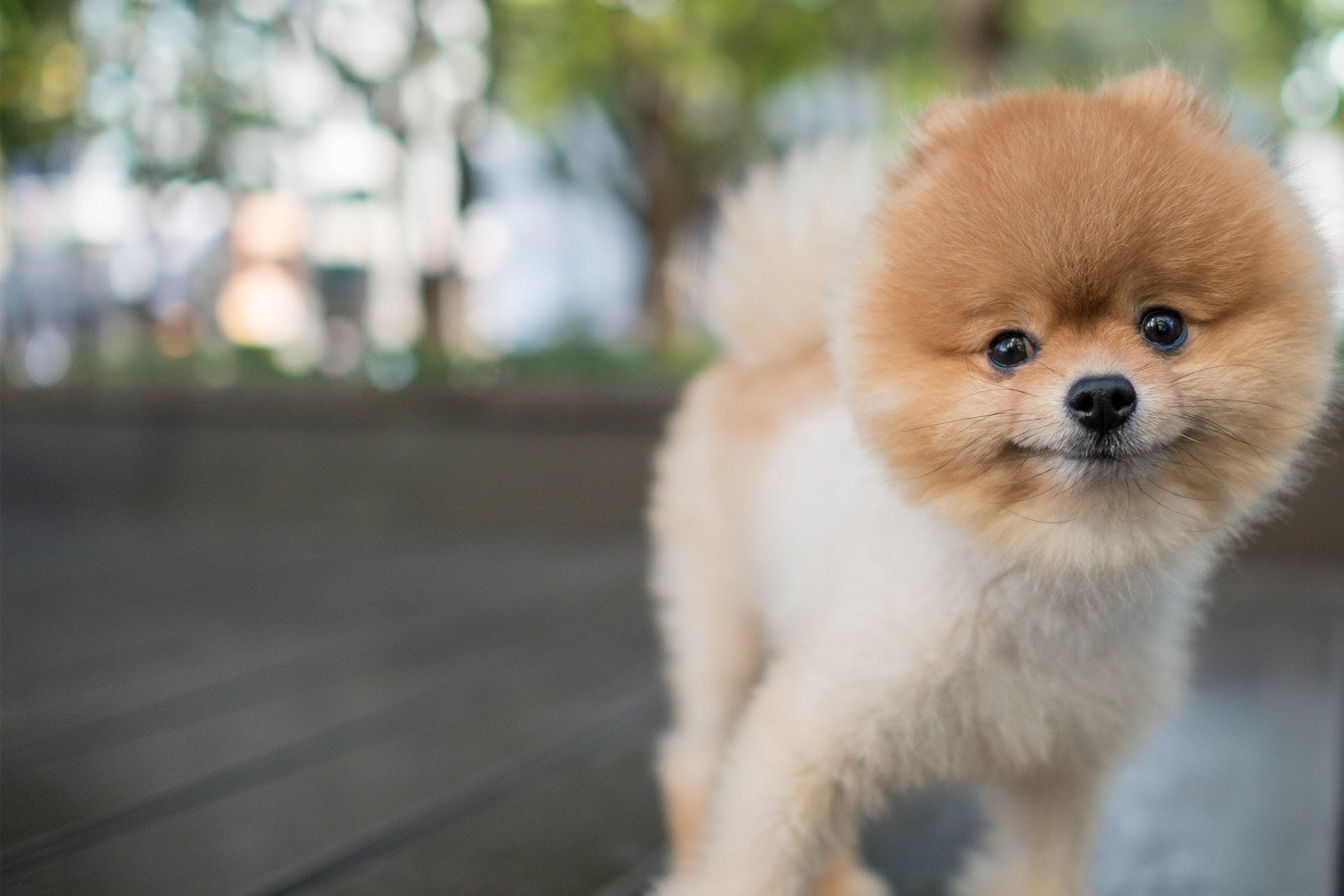 Pomeranian Dog Names - Wag!