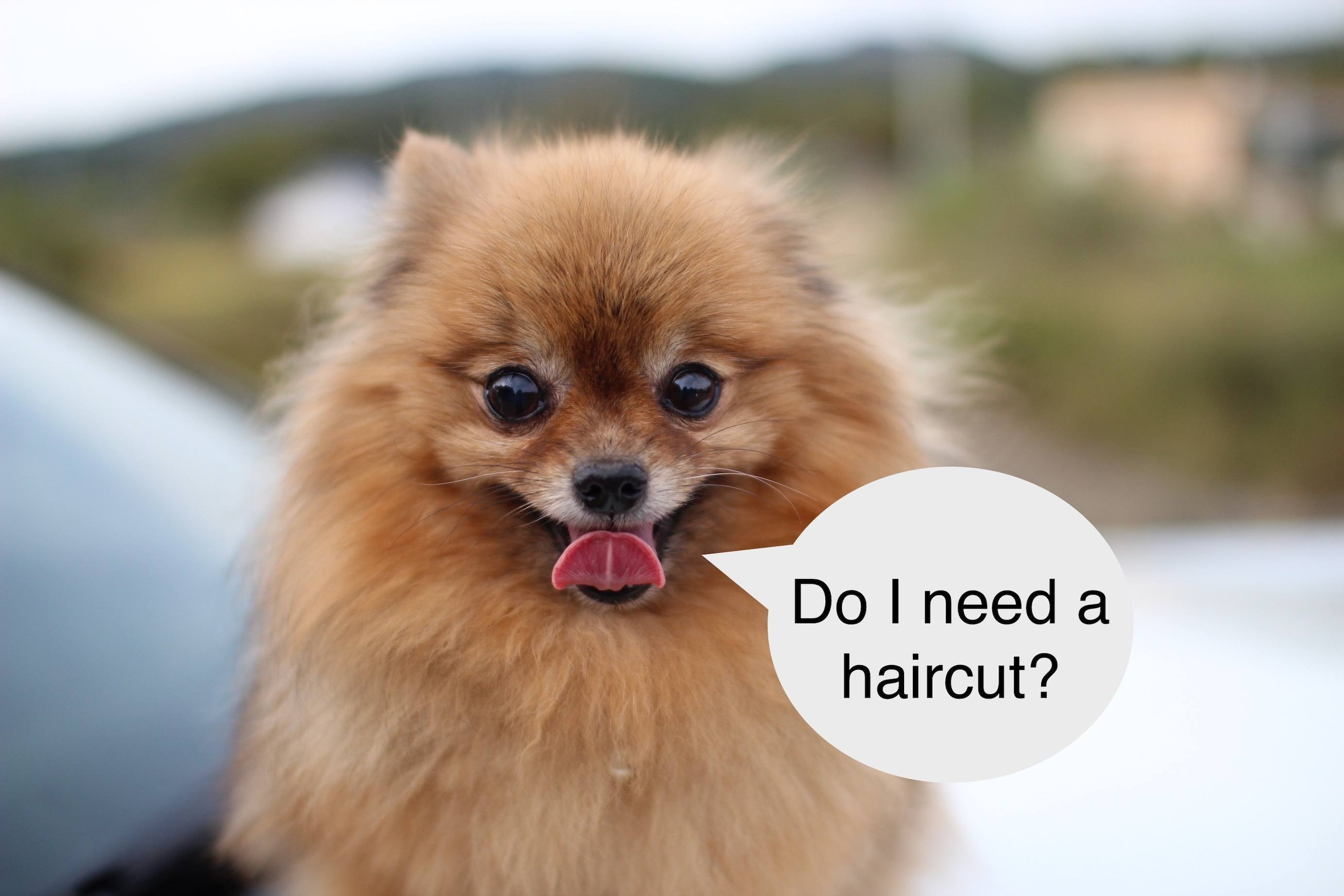Chronicles Of Pomeranian Haircuts (Updated)
